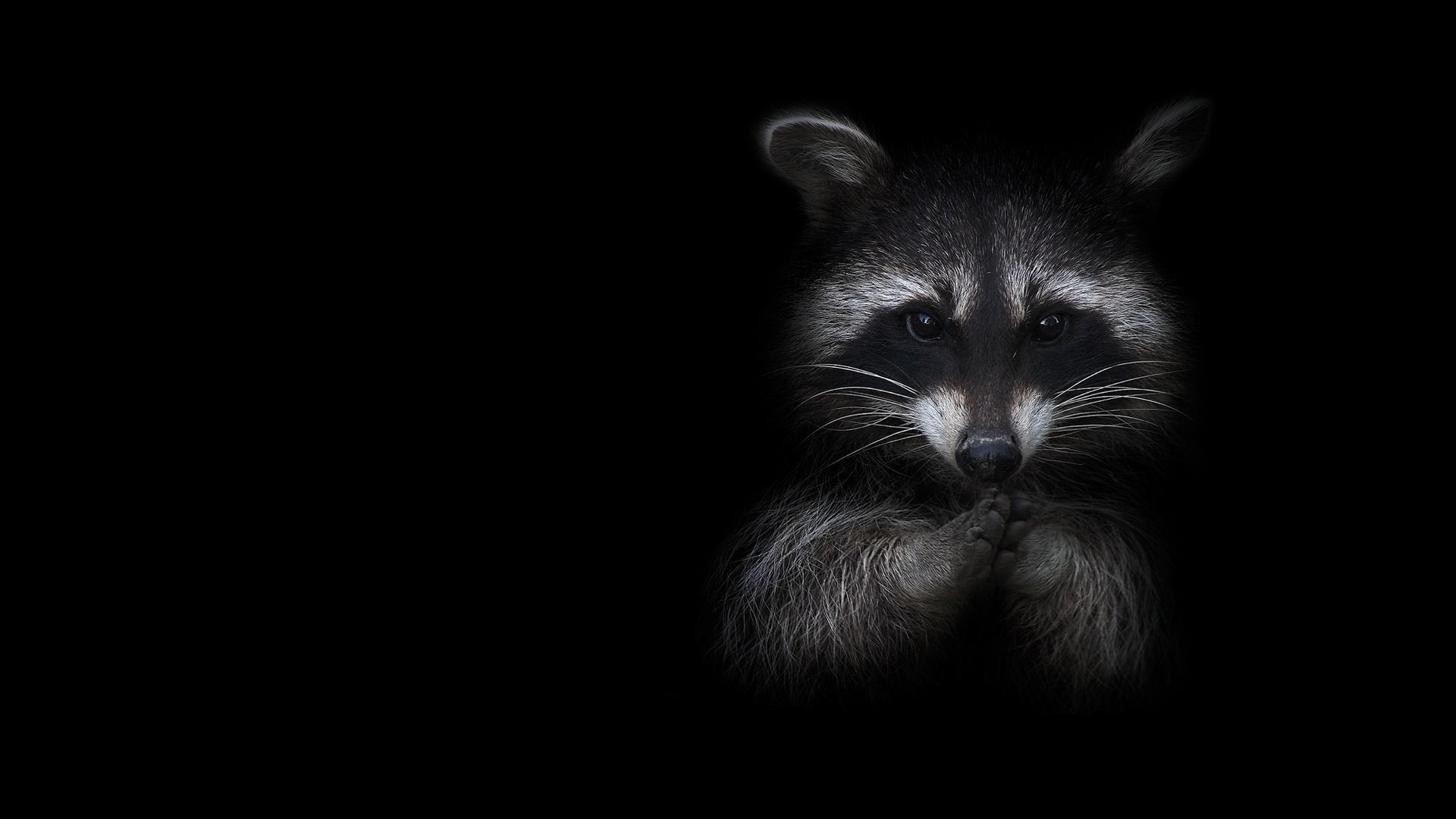 итальянские картинка енота на черном фоне конечно