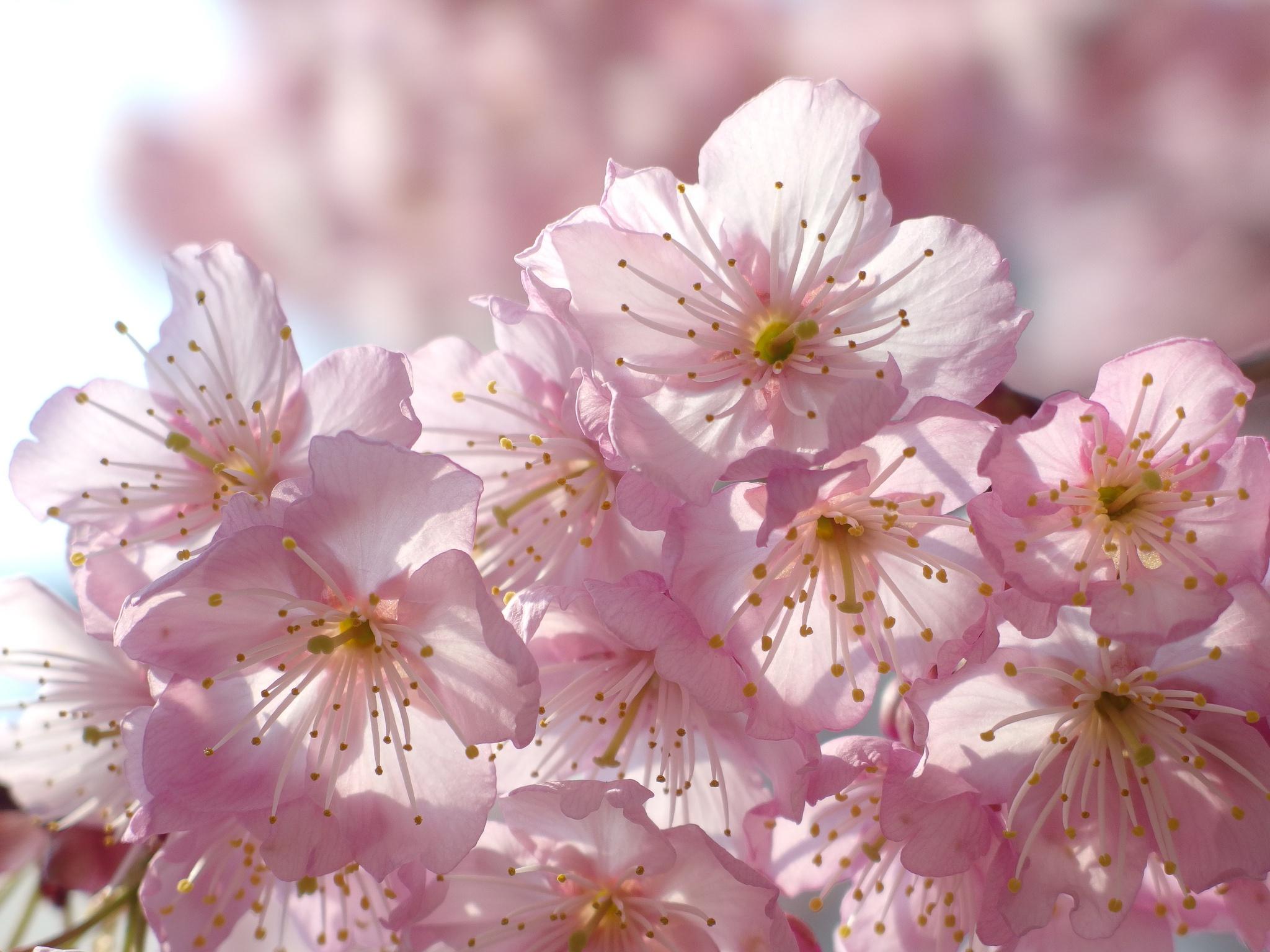 эти цветы вишни фото картинки следить, чтобы