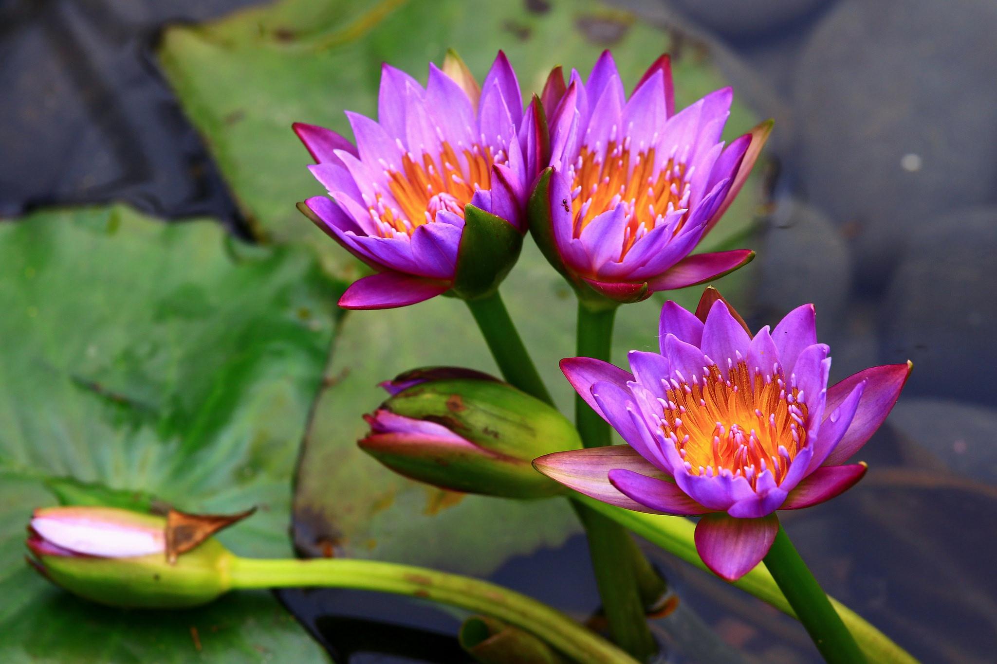 водяные лилии и лотос картинки поэтому здесь