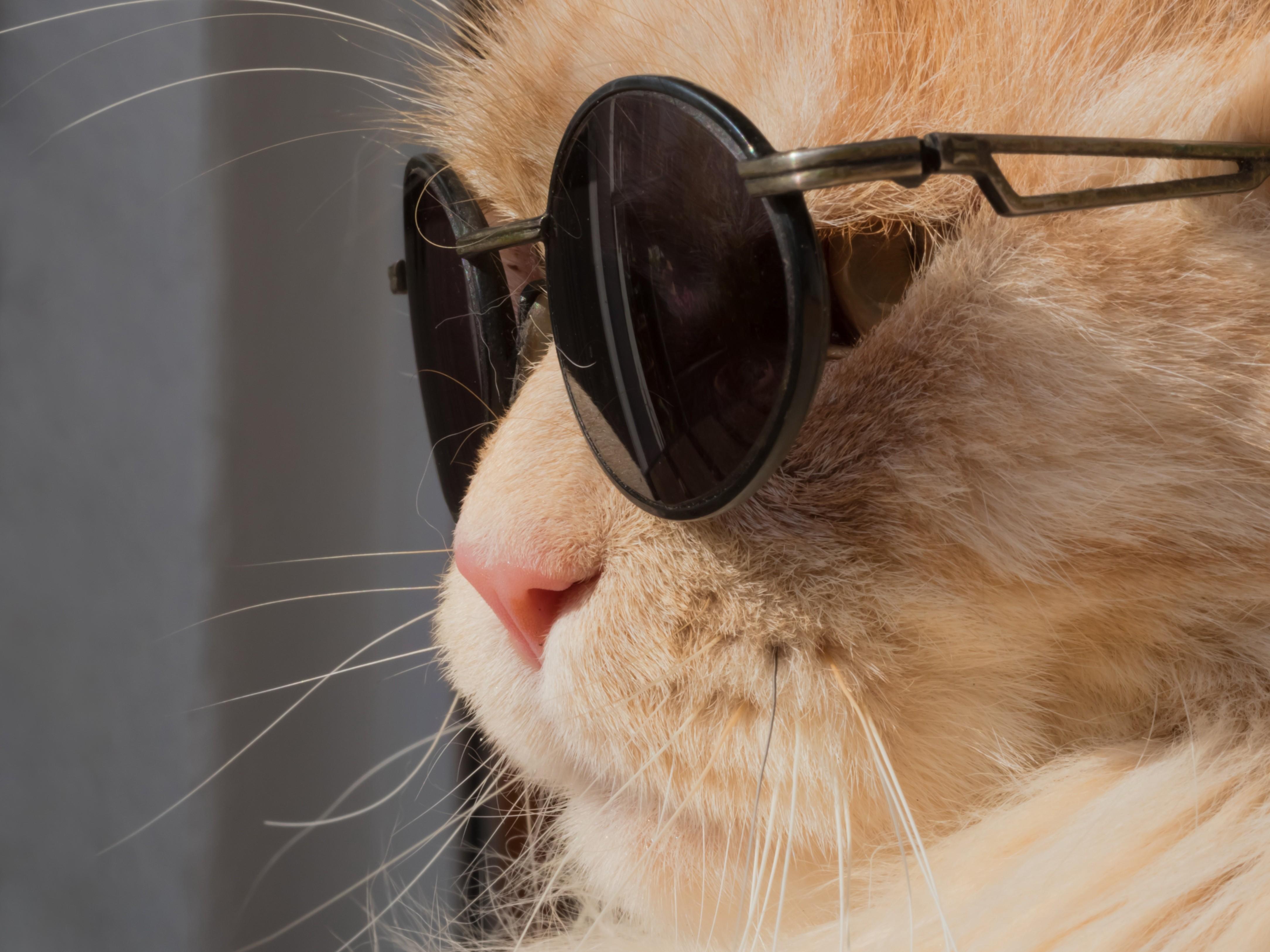 Картинки котов в солнечных очках
