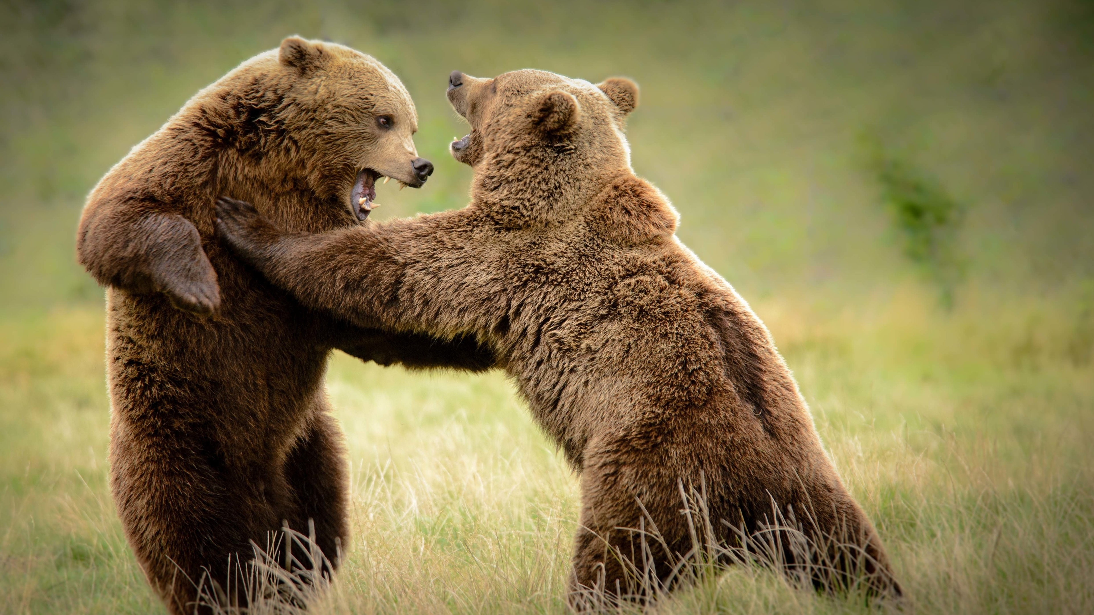 билла медведи картинки большого формата раз после романа