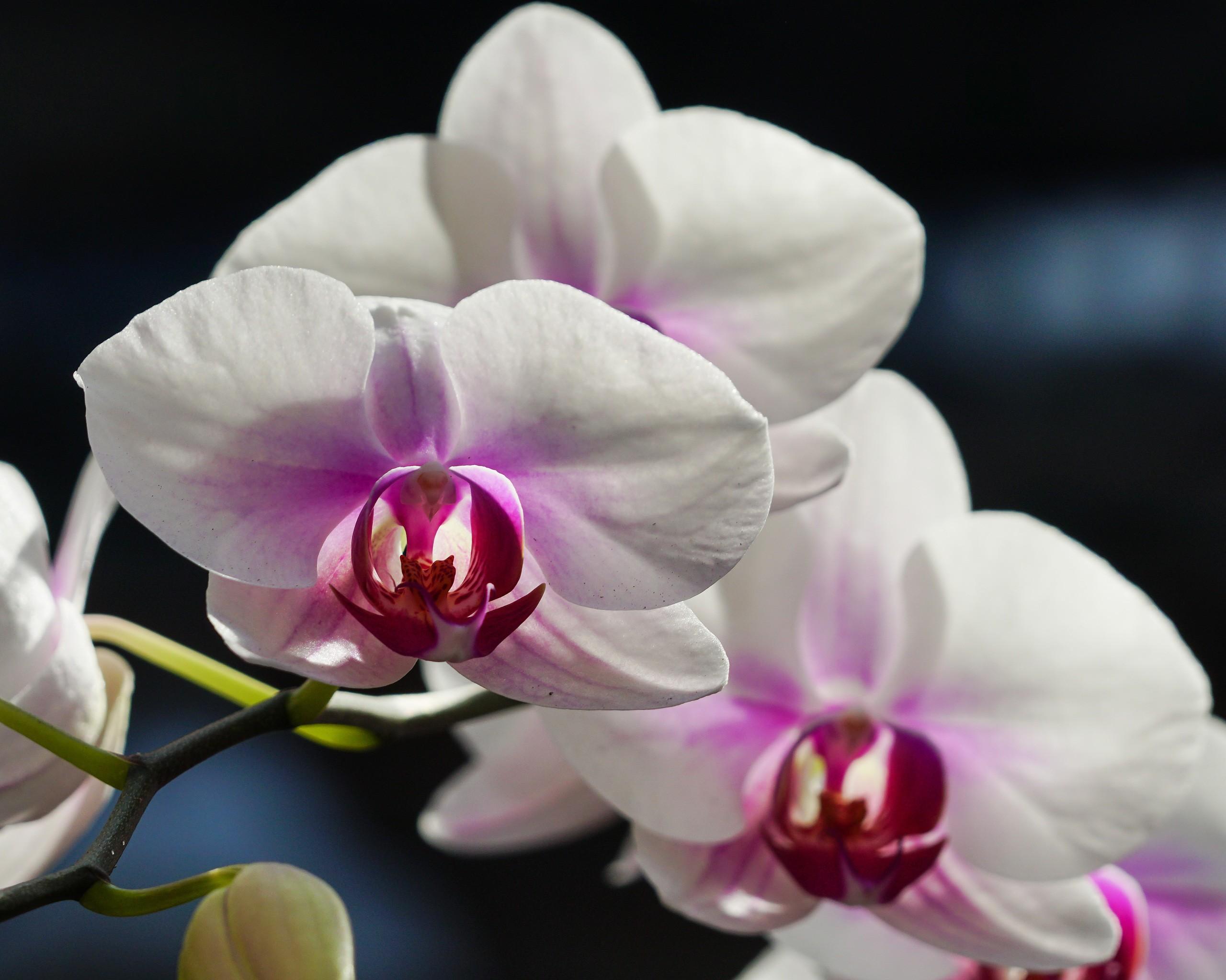 wallpapers blumen makro orchidee wei e orchidee f r desktop 138282. Black Bedroom Furniture Sets. Home Design Ideas