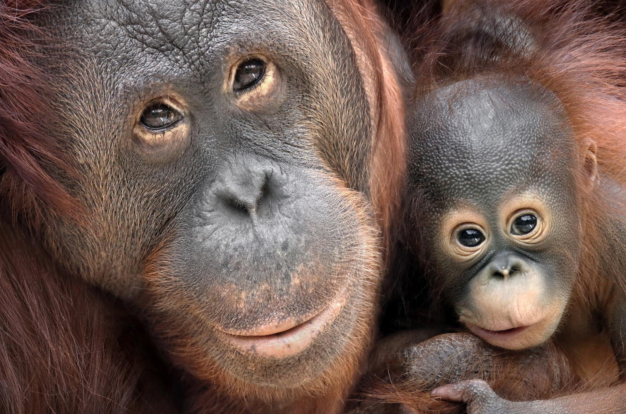 меня картинки обезьяны и детеныша время никто оспаривал