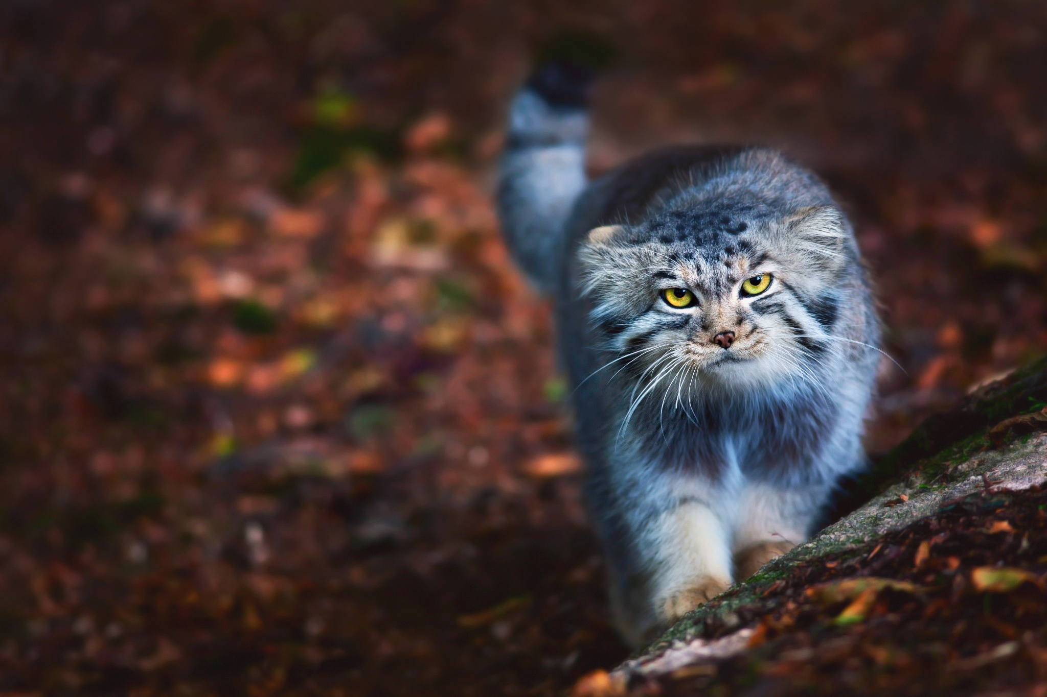 Обои котёнок, прогулка, пушистый. Кошки foto 13