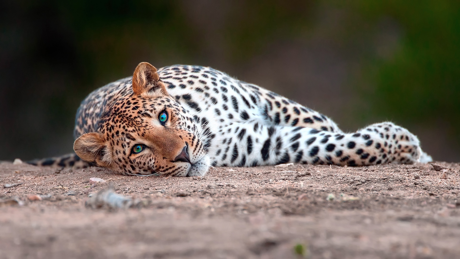 речь картинки гепарда и леопарда на рабочий стол амбросио модель