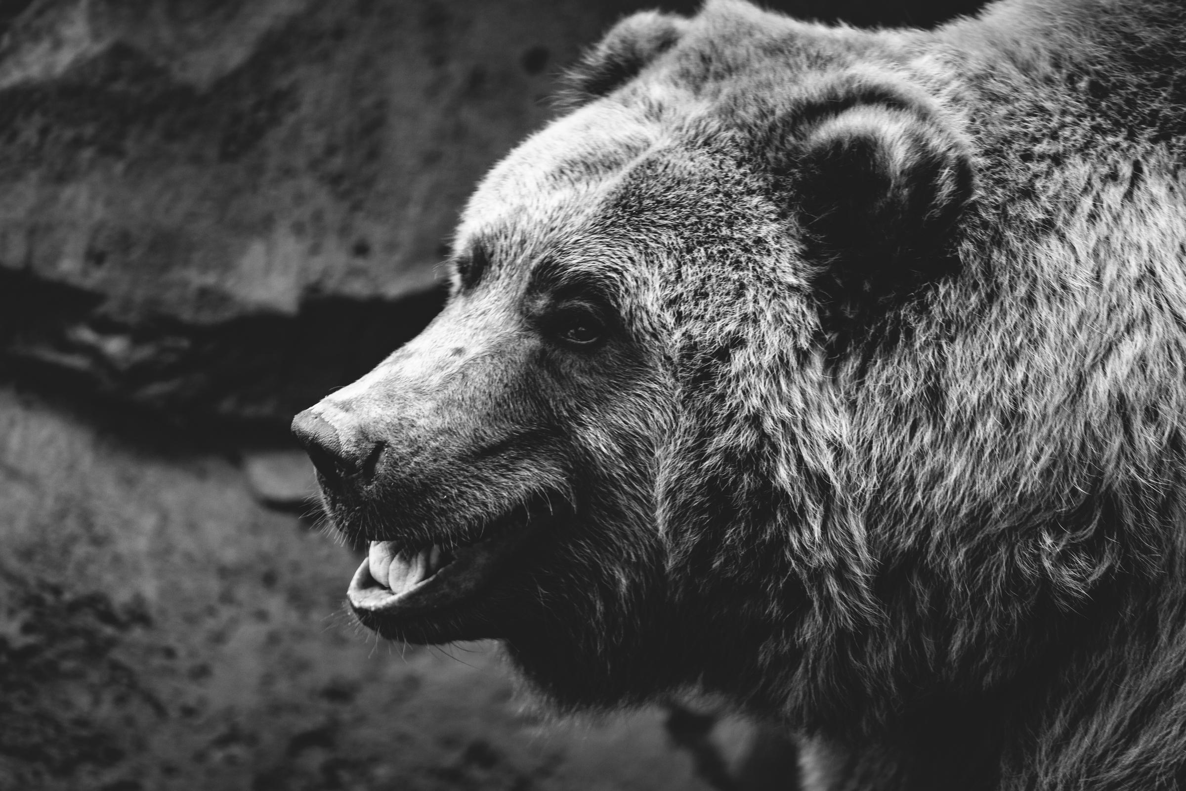 Качественные черно белые картинки медведя