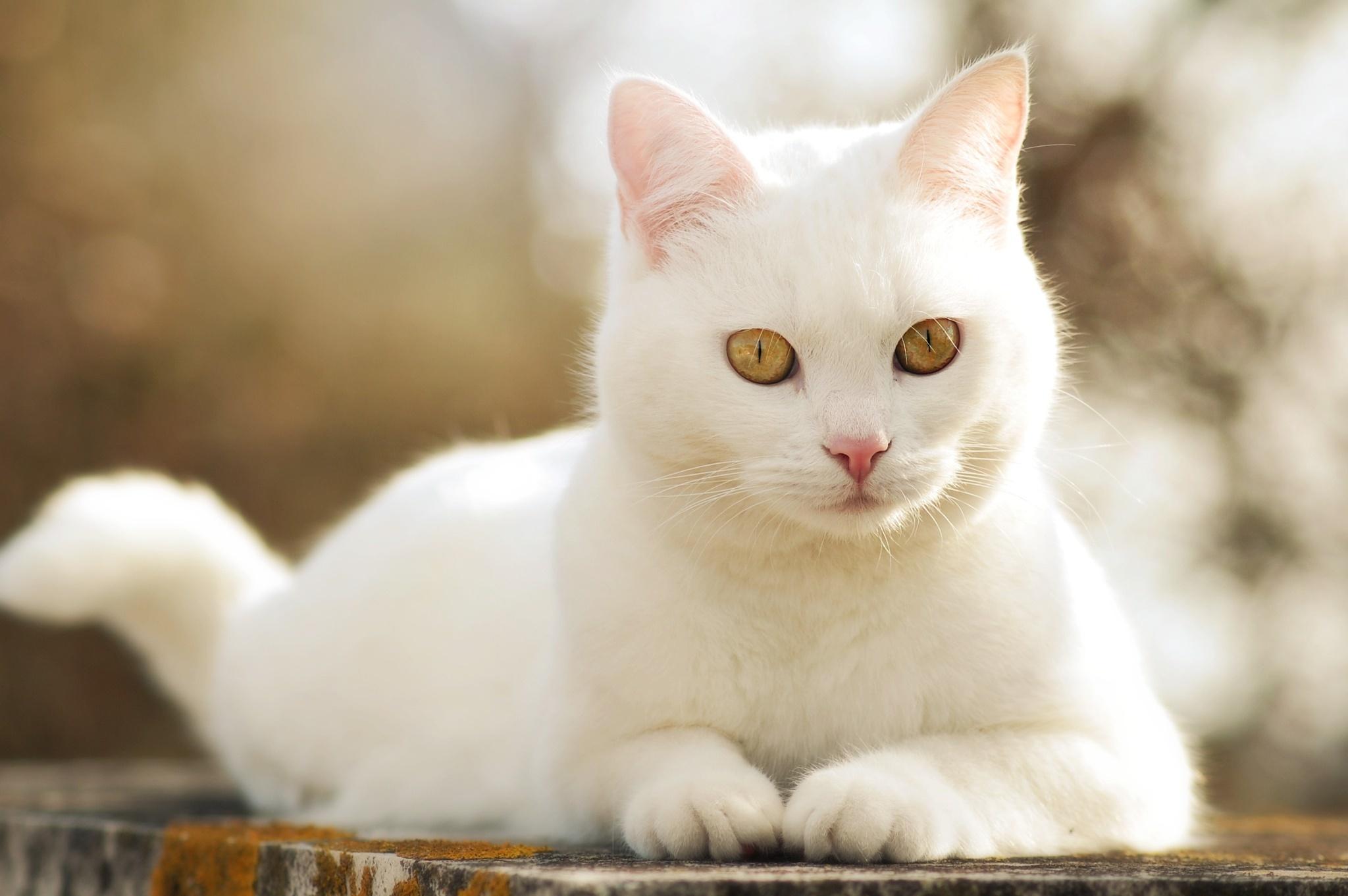 монтируются картинки белого кошки тех, кто желает