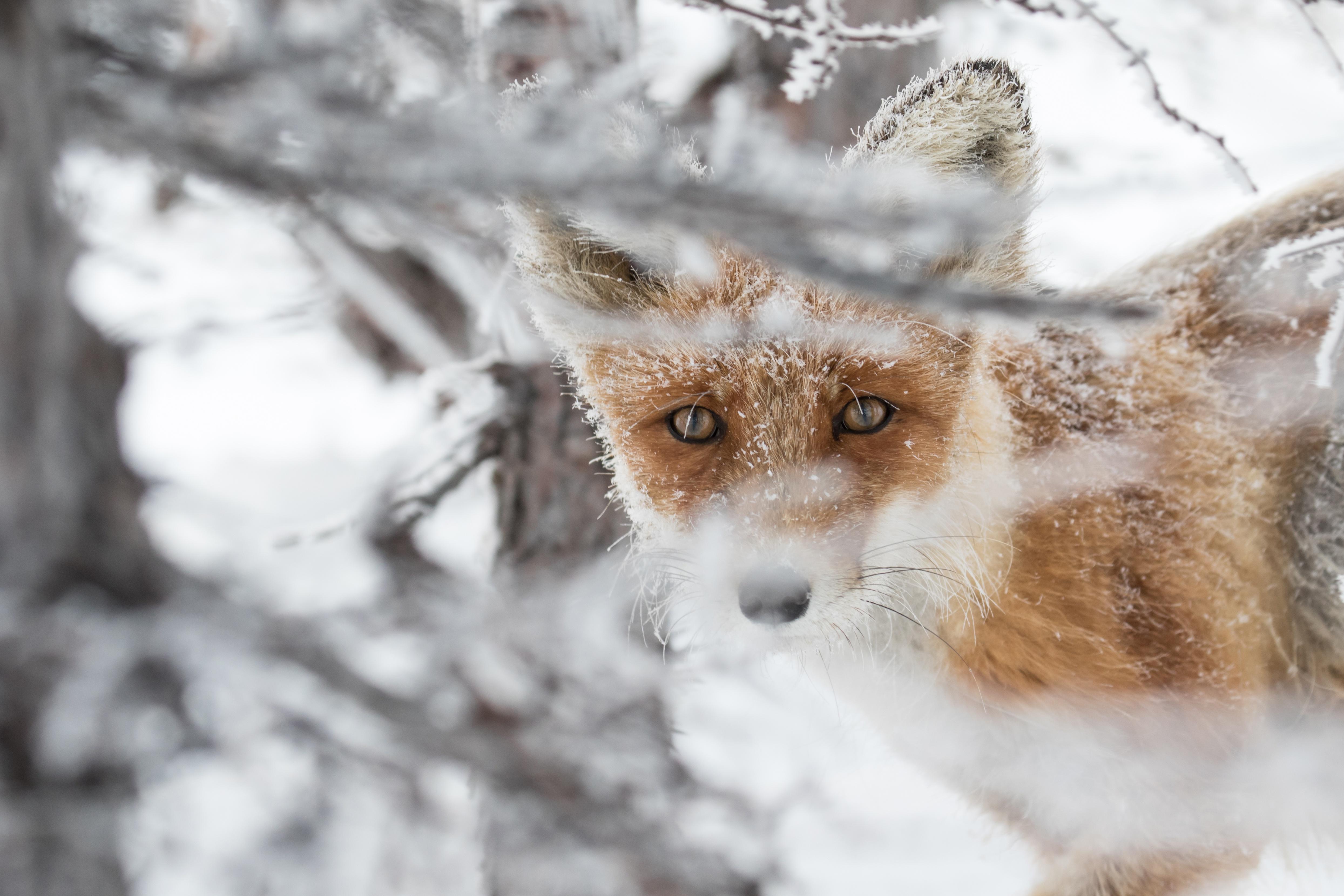 Лиса лисица  описание виды где обитает чем питается