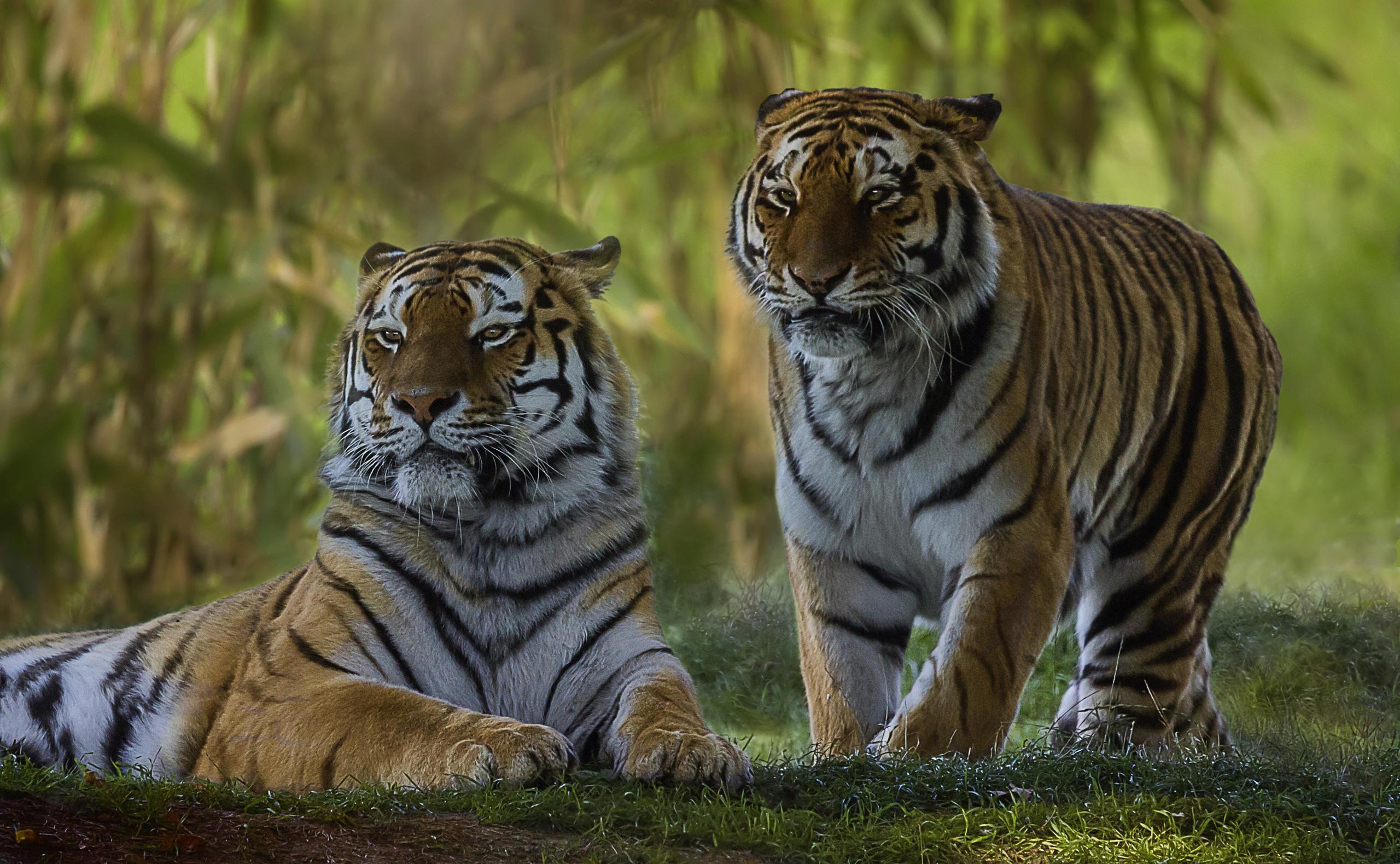 Картинка пара тигров