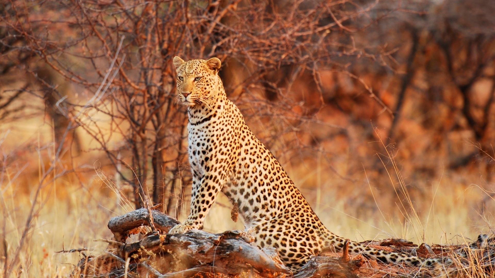 красивые картинки леопардов гепардов