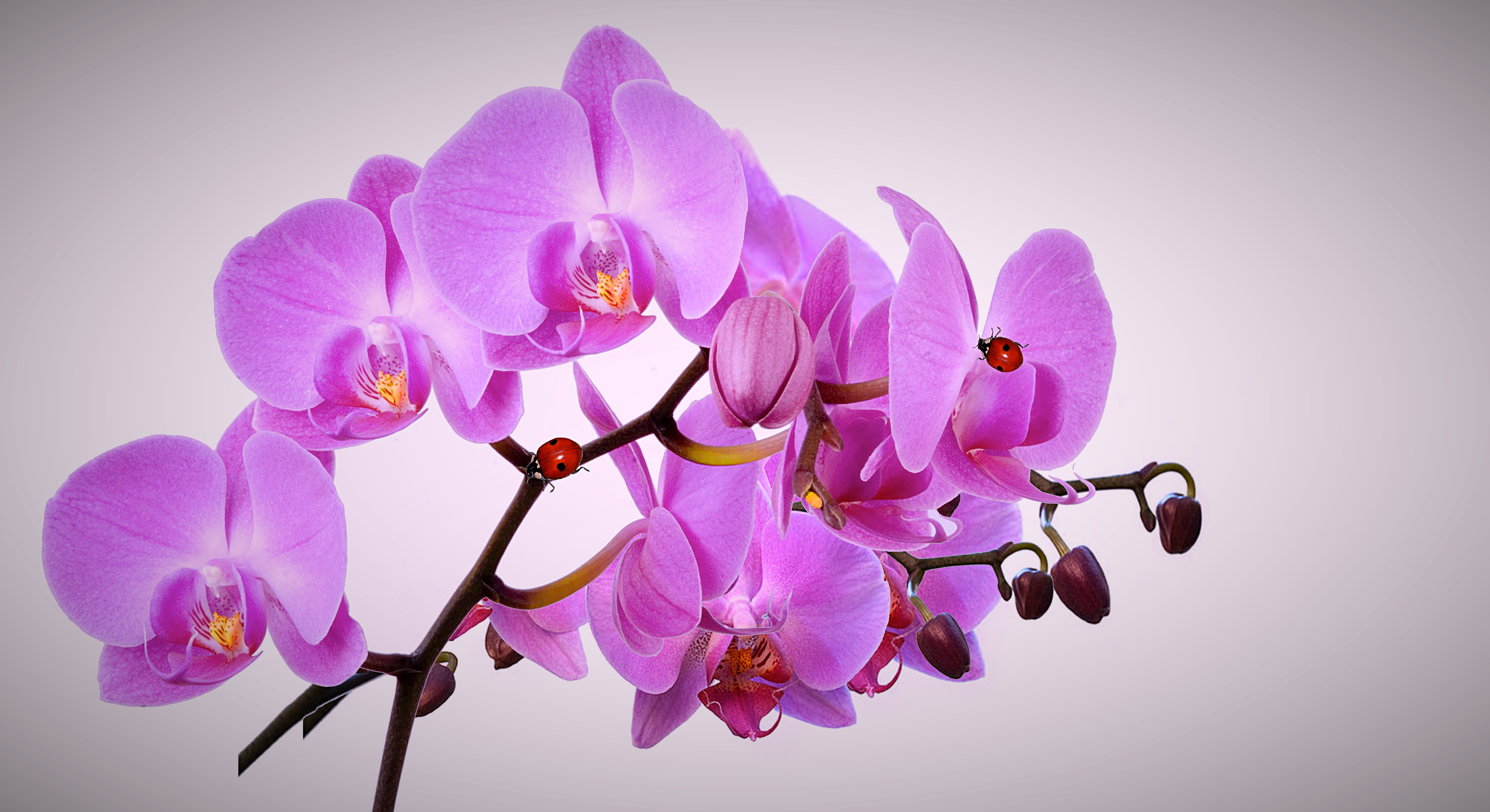 картинки орхидей хорошего качества стиль, позволяет