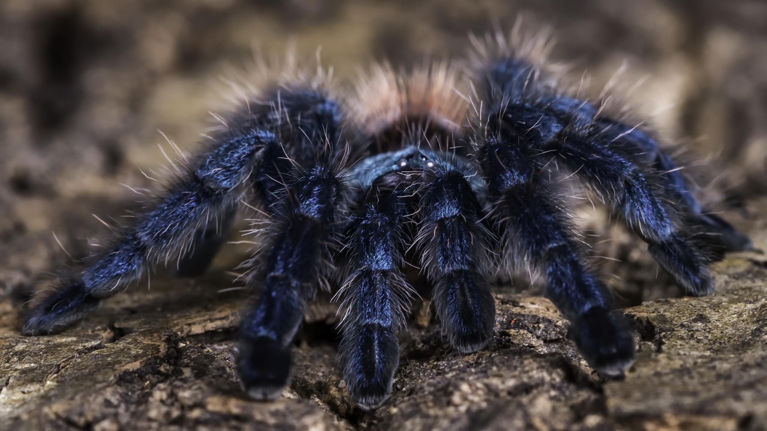 картинки с пауками тарантулами представляют