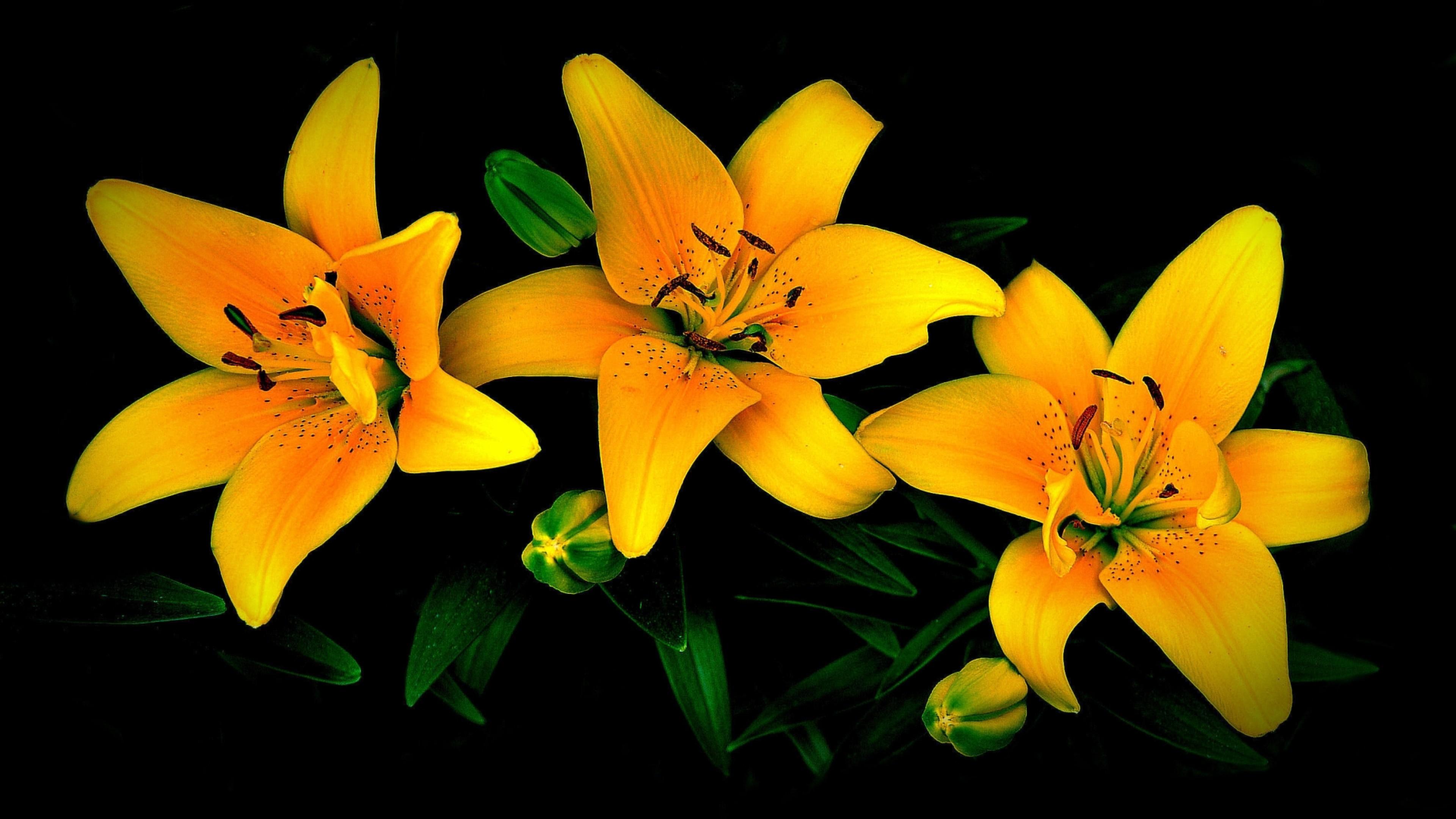 картинки на рабочий стол лилии желтые верят, что