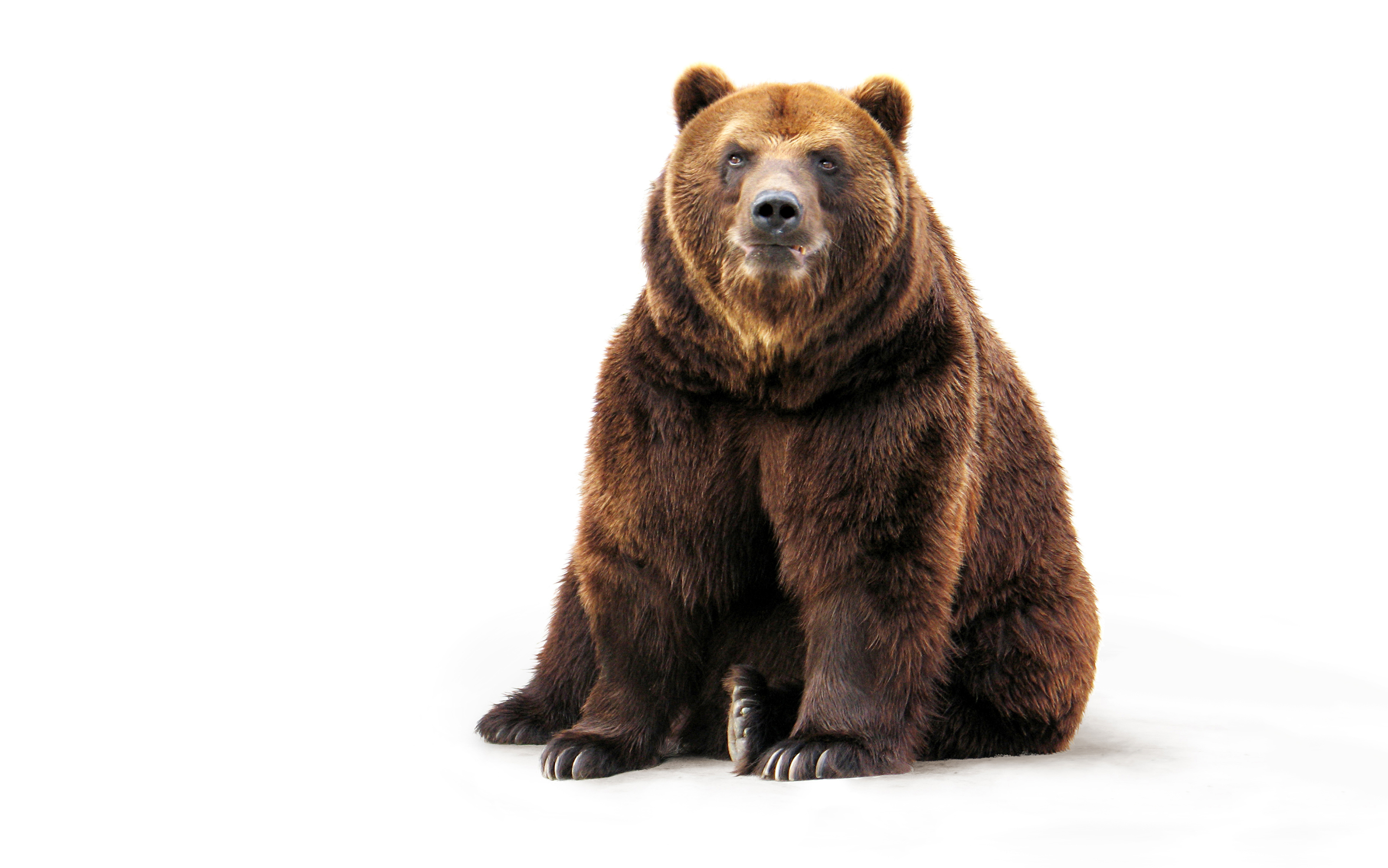 грей картинки для медведь на прозрачном фоне картинки которую