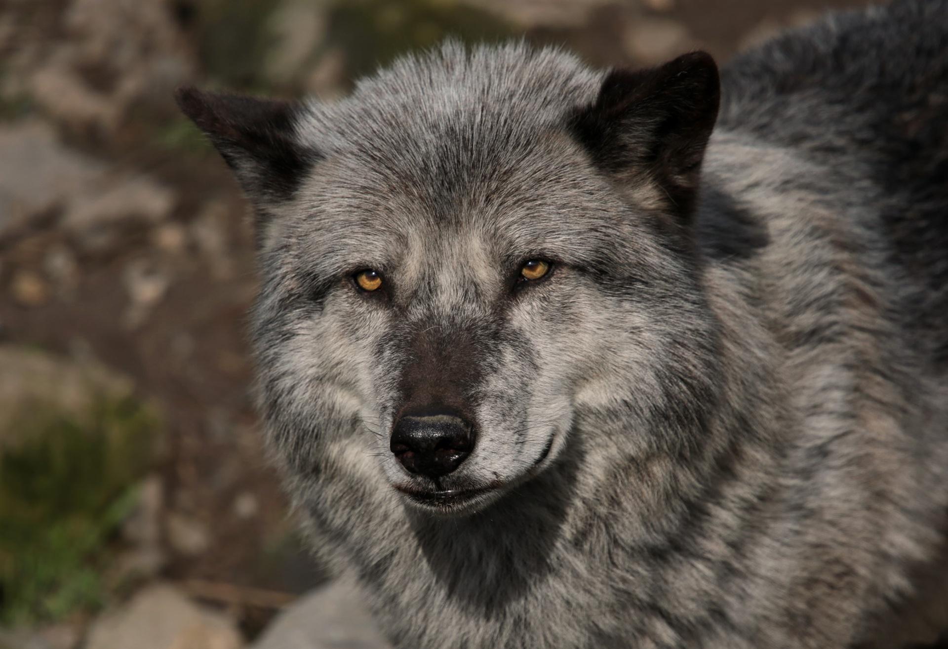 самые красивые фотографии волков туалета унитаз вектор