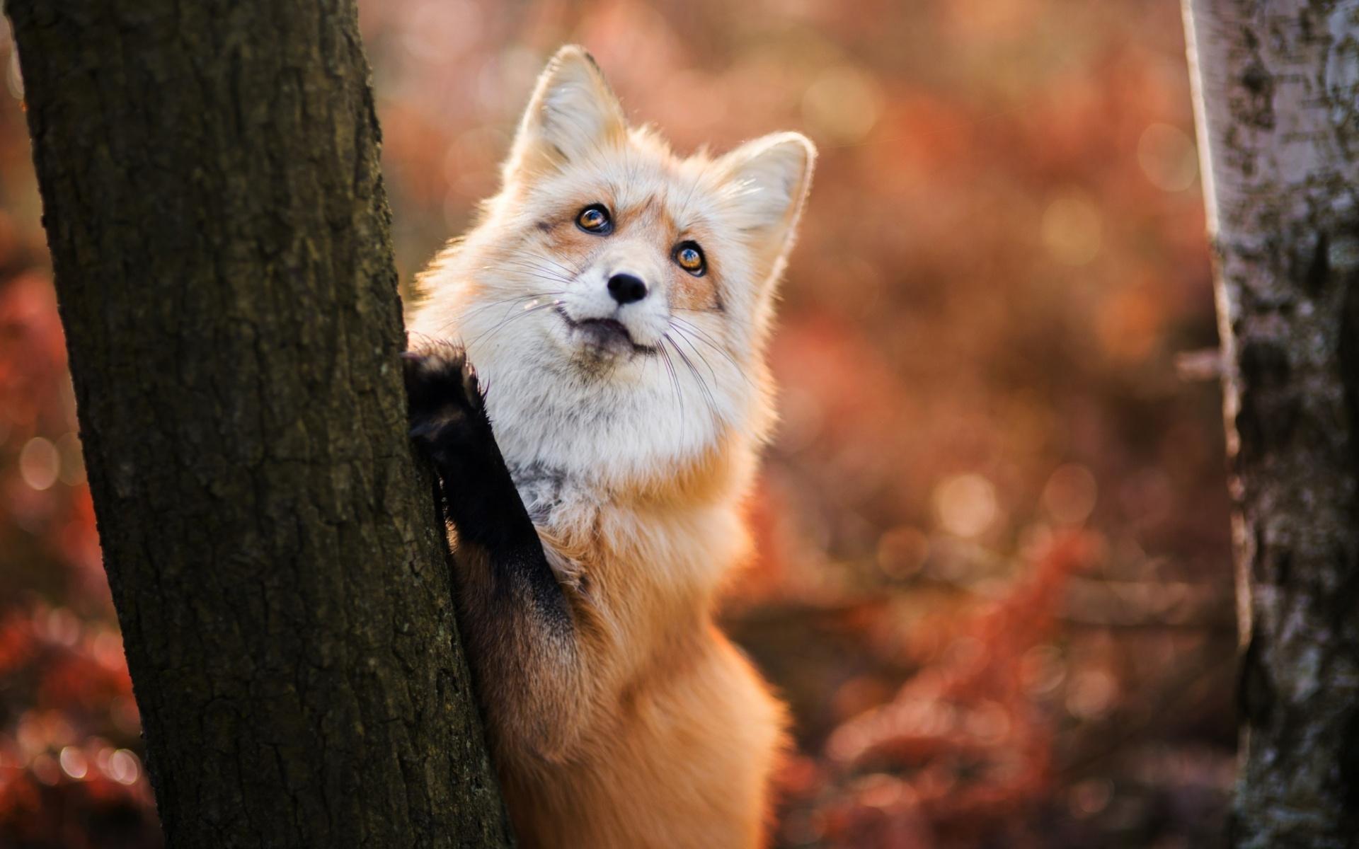 скромная лиса фотографии самые красивые тому же, кусты