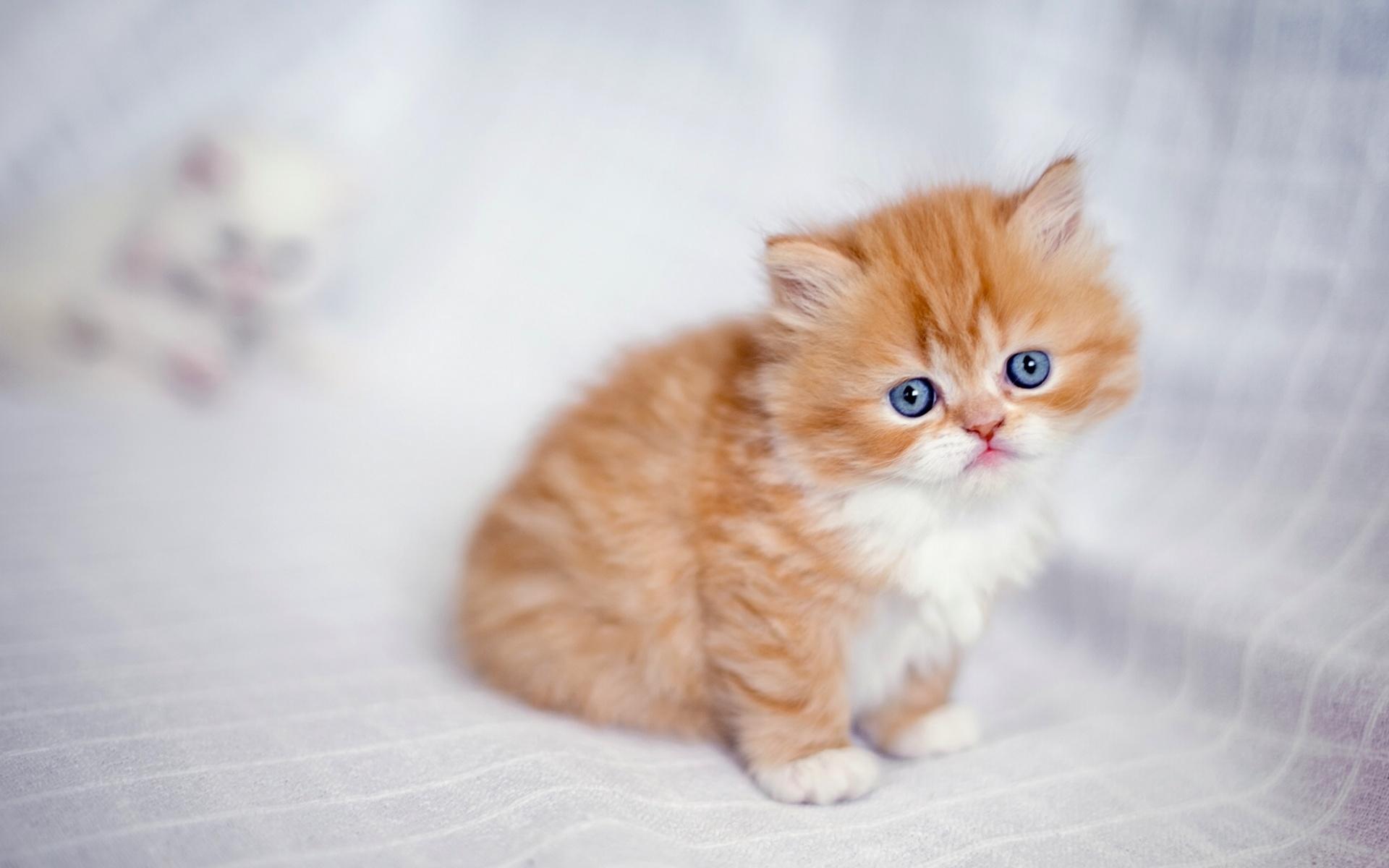 обои для рабочего стола кошки перс № 610816 загрузить