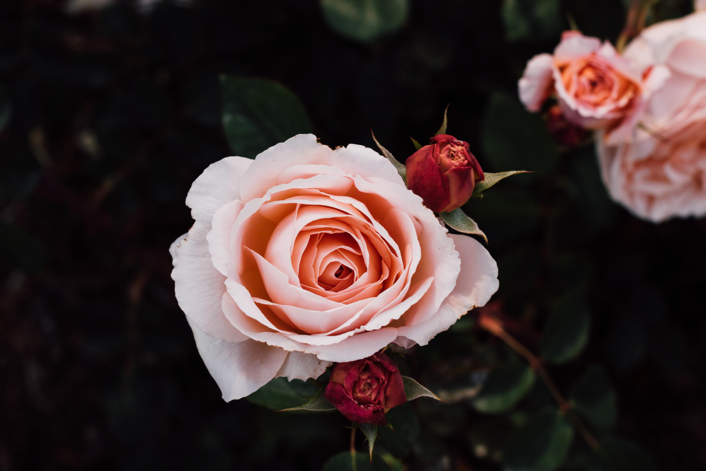 Картинки роз в высоком разрешении