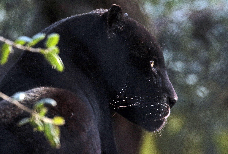картинки с изображением черной пантеры пожаловать туда, где