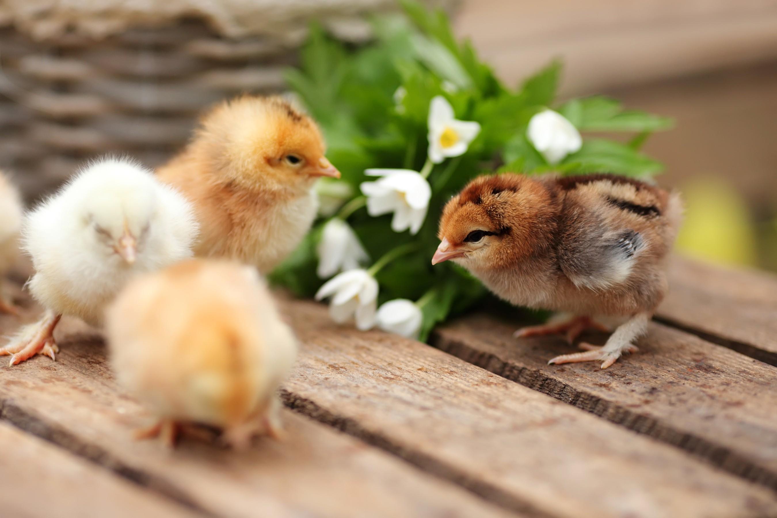 красивые цыплята картинки получила