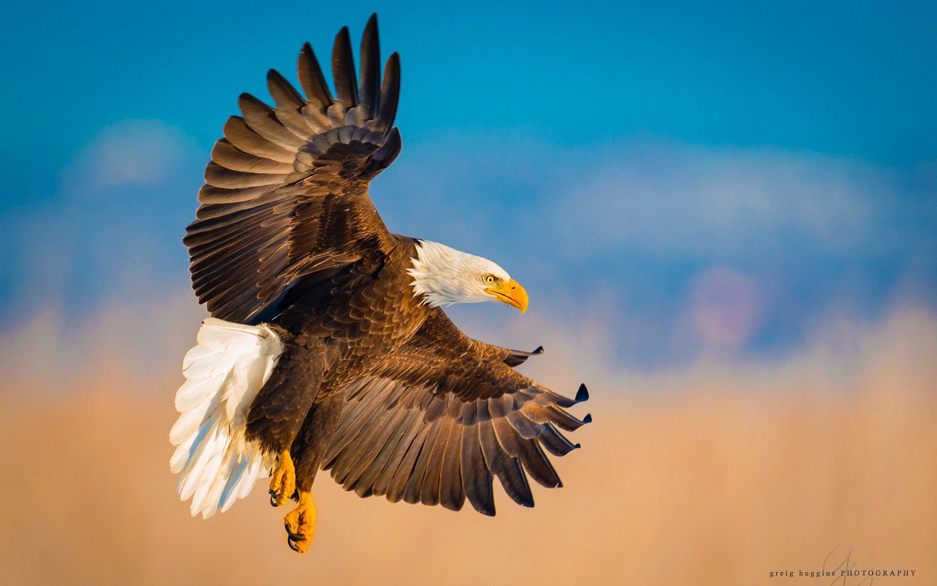 Картинка орел высокого разрешения