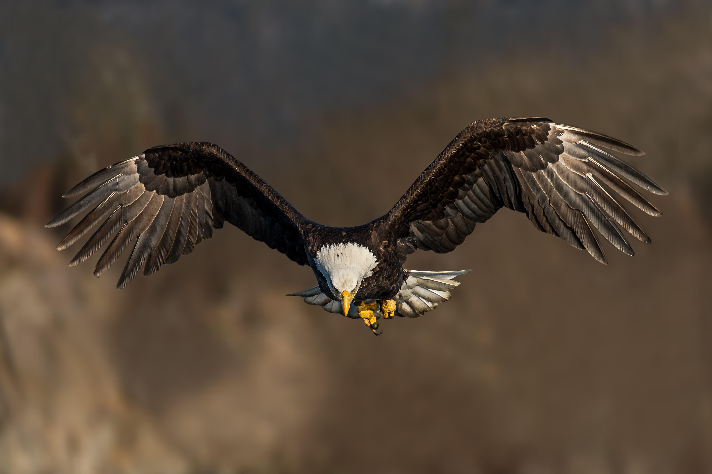 фотографии летящего орла для