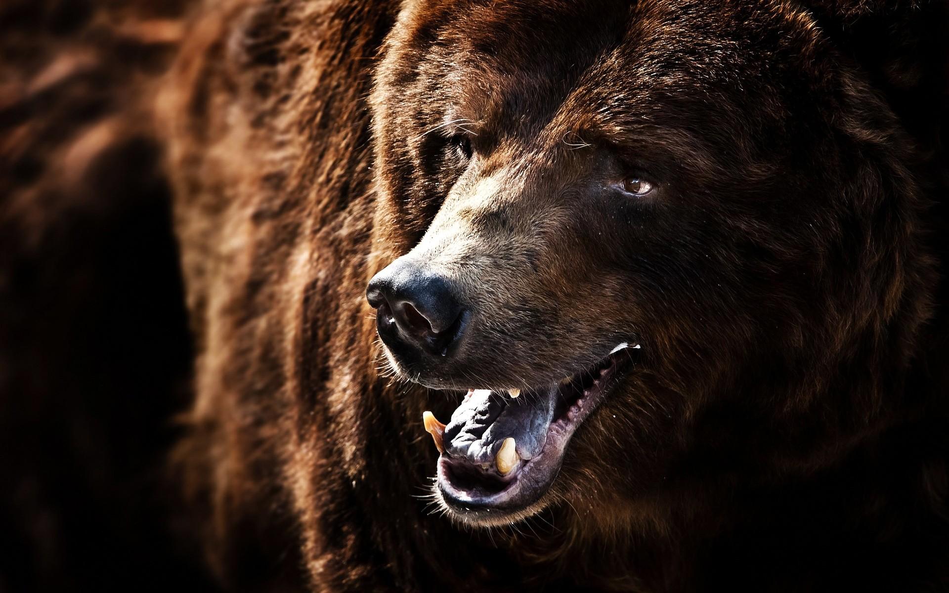 Фотообои медвежий оскал