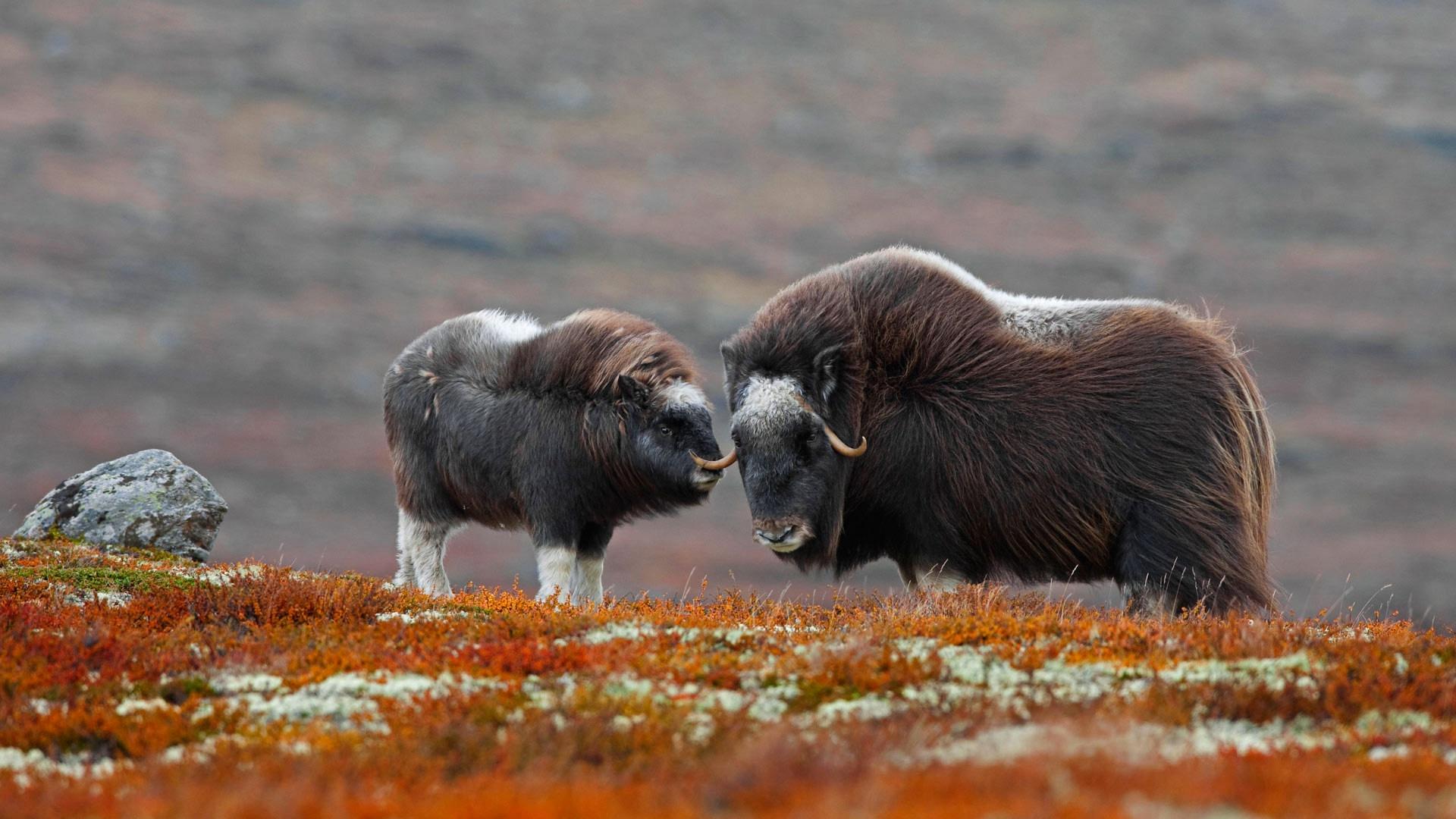 бычок животные тундры фото и названия бузова