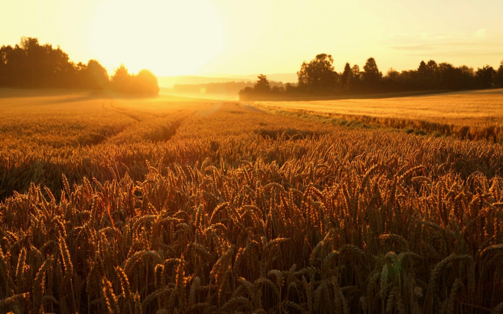 можете картинка рассвет и пшеница прикольные