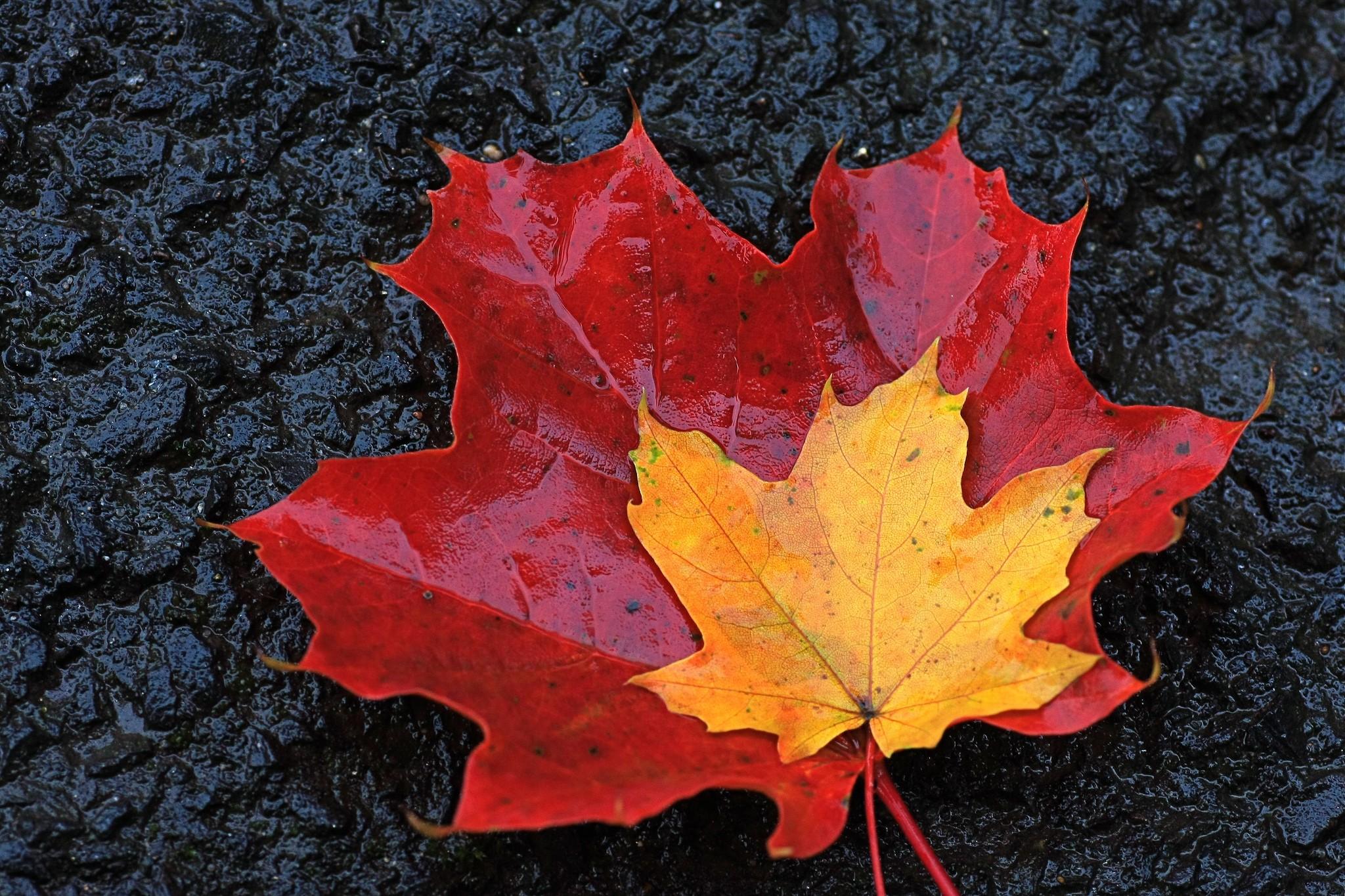 Обои кленовые листья