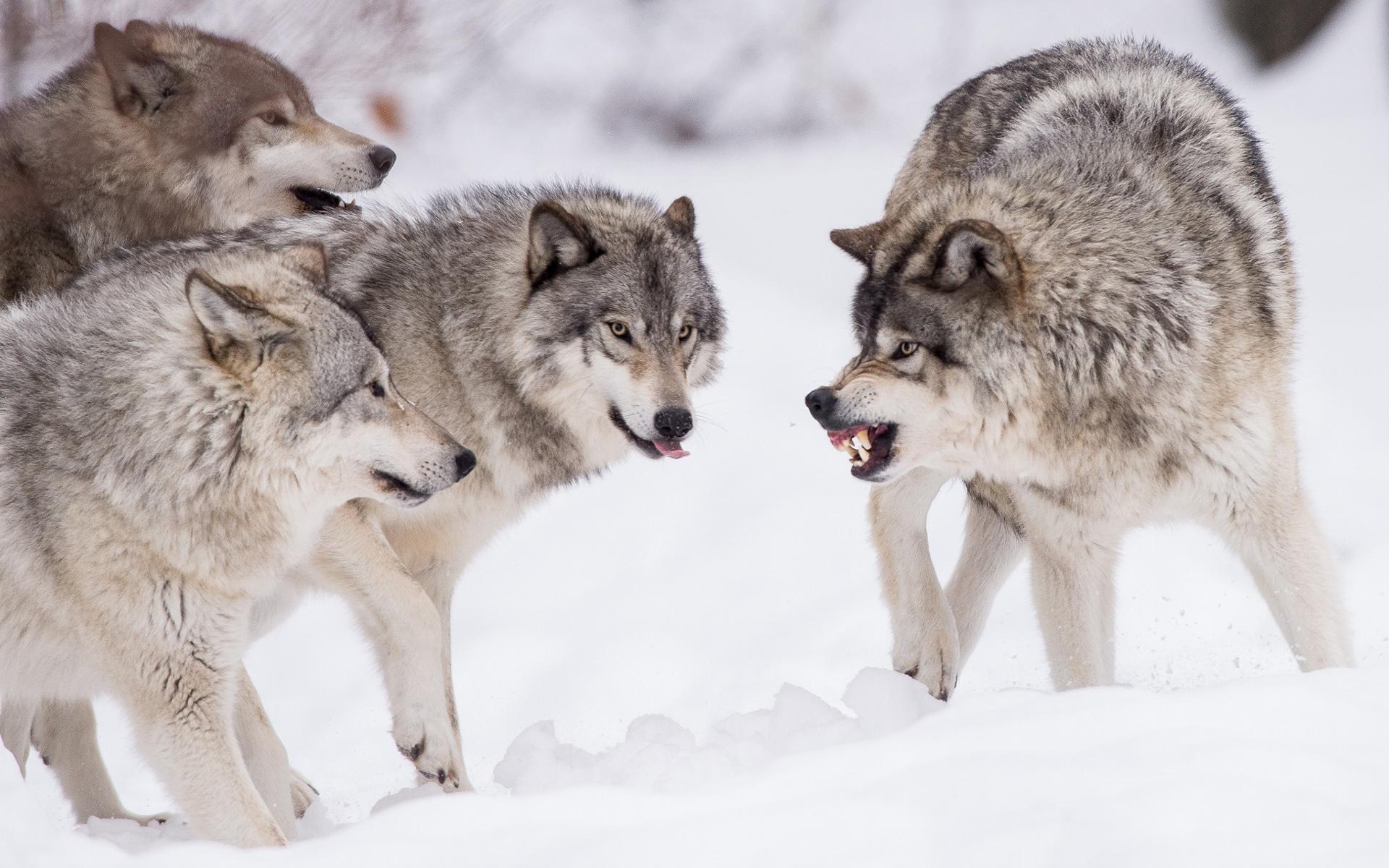 Картинки волки стая