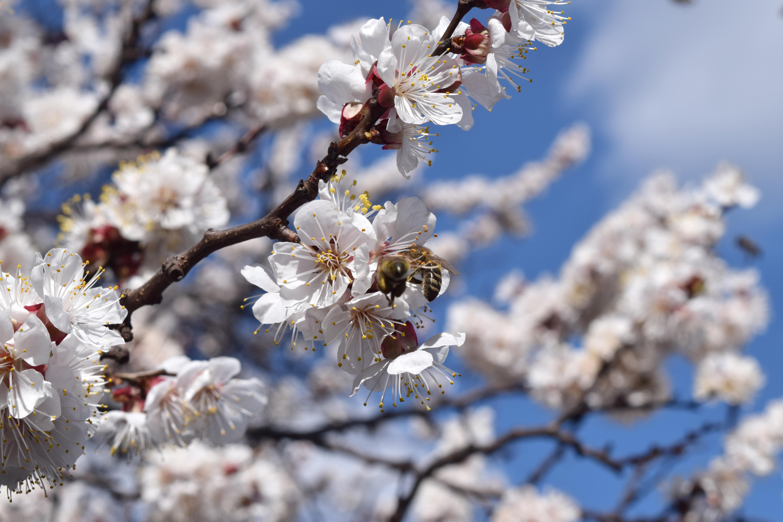 Картинка цветущий абрикос