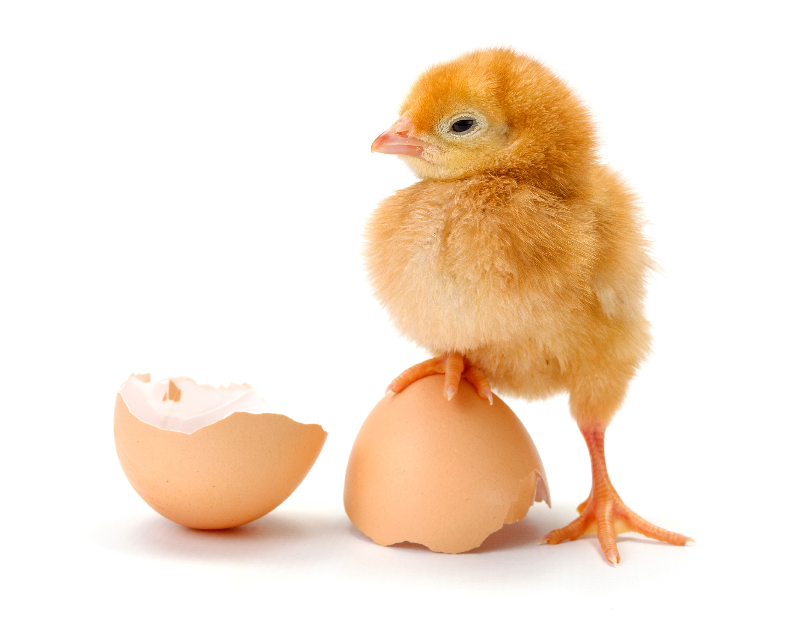 Яйцо и цыпленок картинка