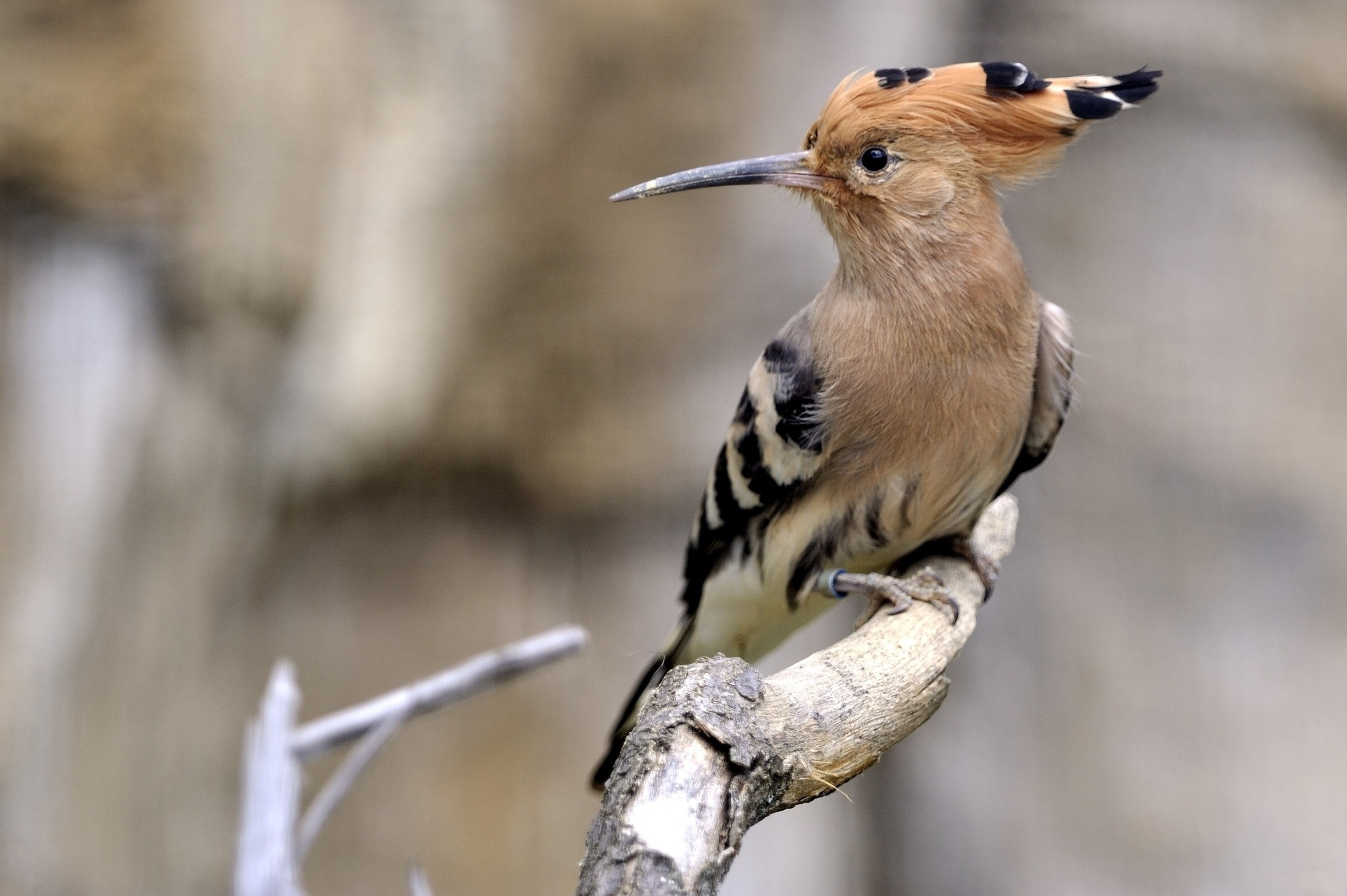Картинки с птицей удод
