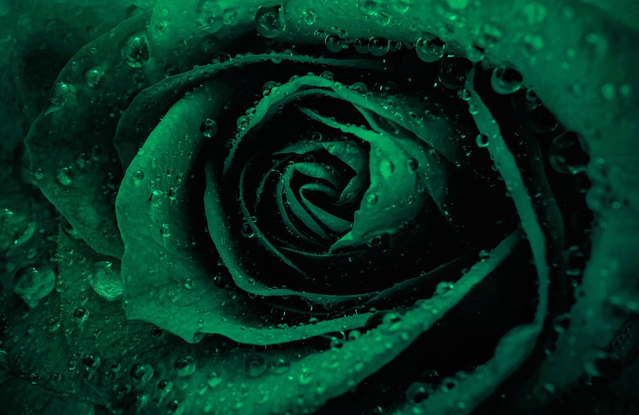 зеленые розы картинки каплями