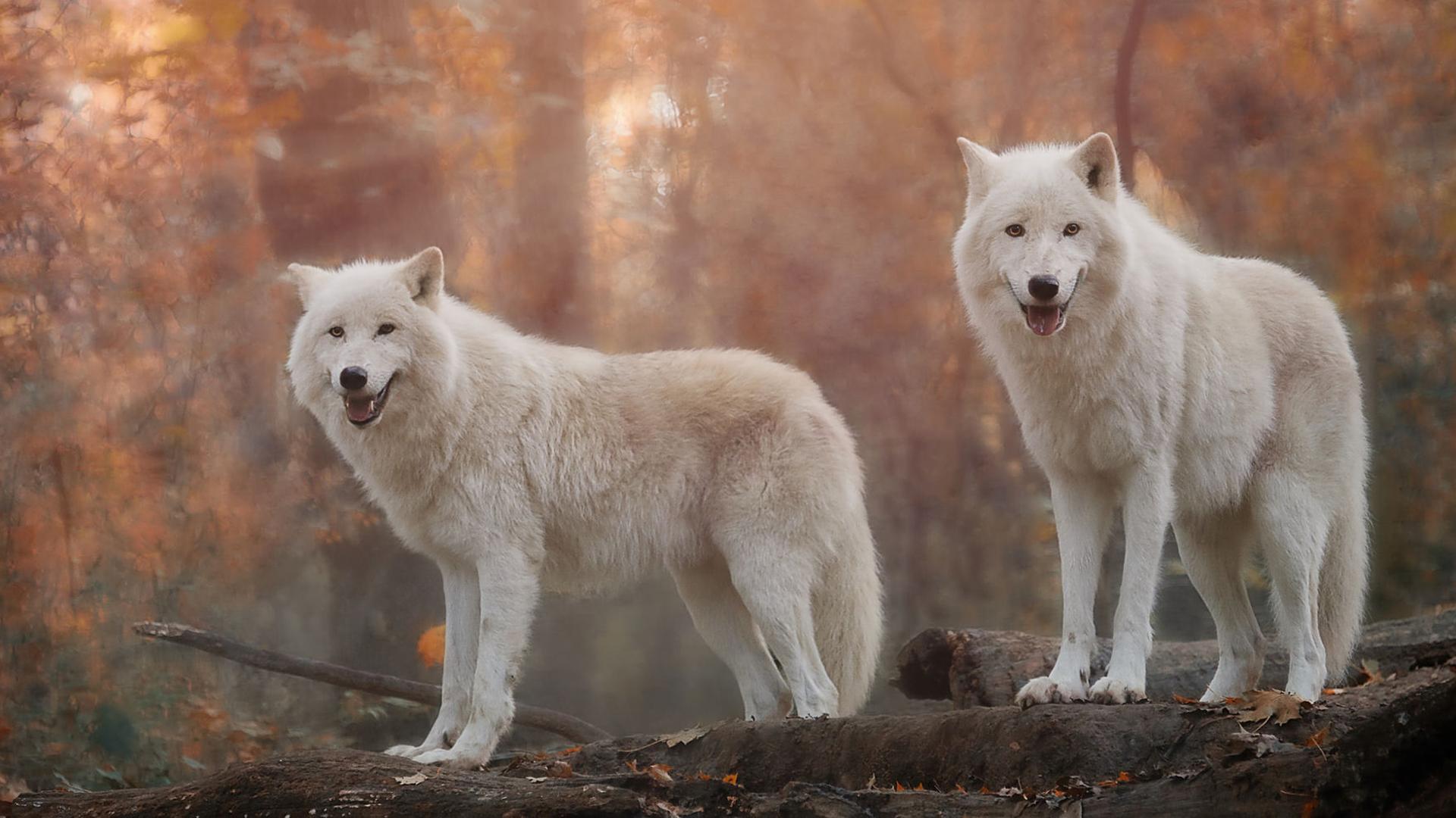 Wallpapers predators w lfe white wolf f r desktop 159828 for Minimalismus haustiere