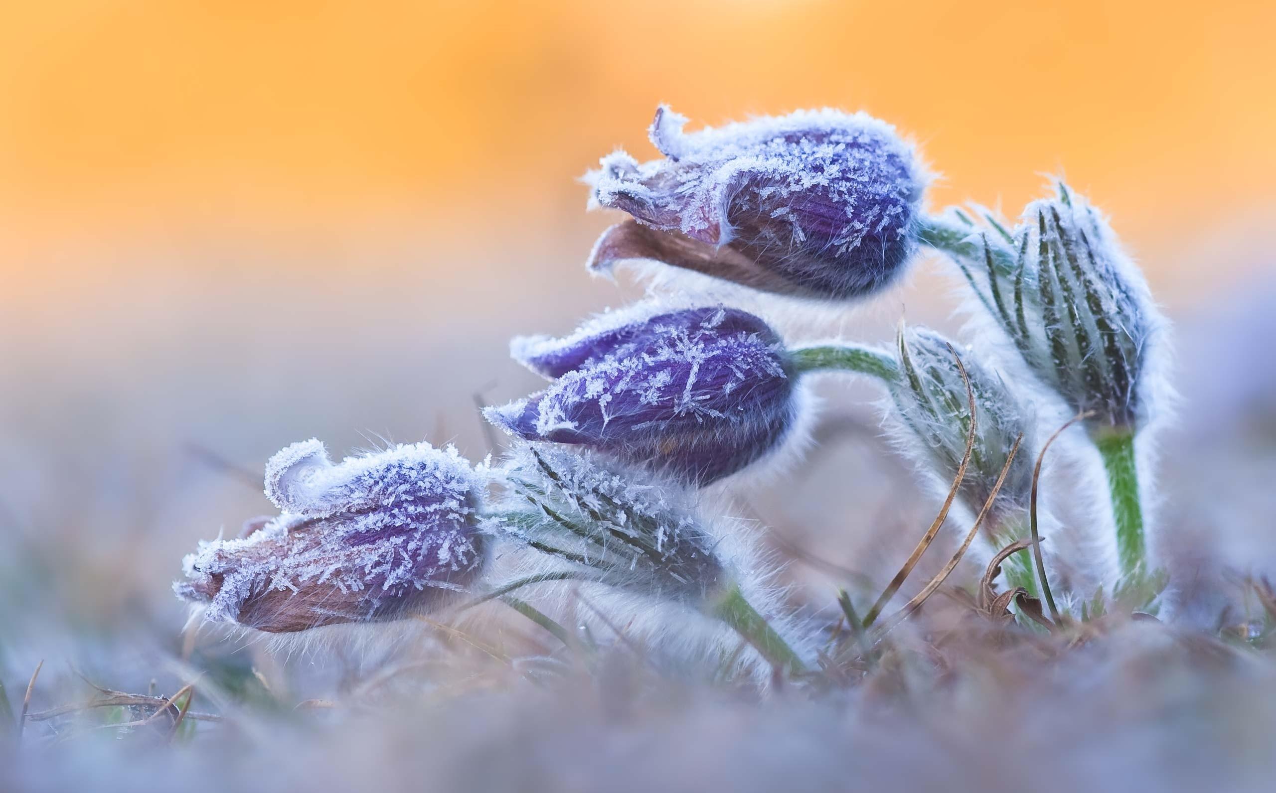 Обои цветок, цветы, иней, обои, Мороз. Макро foto 19