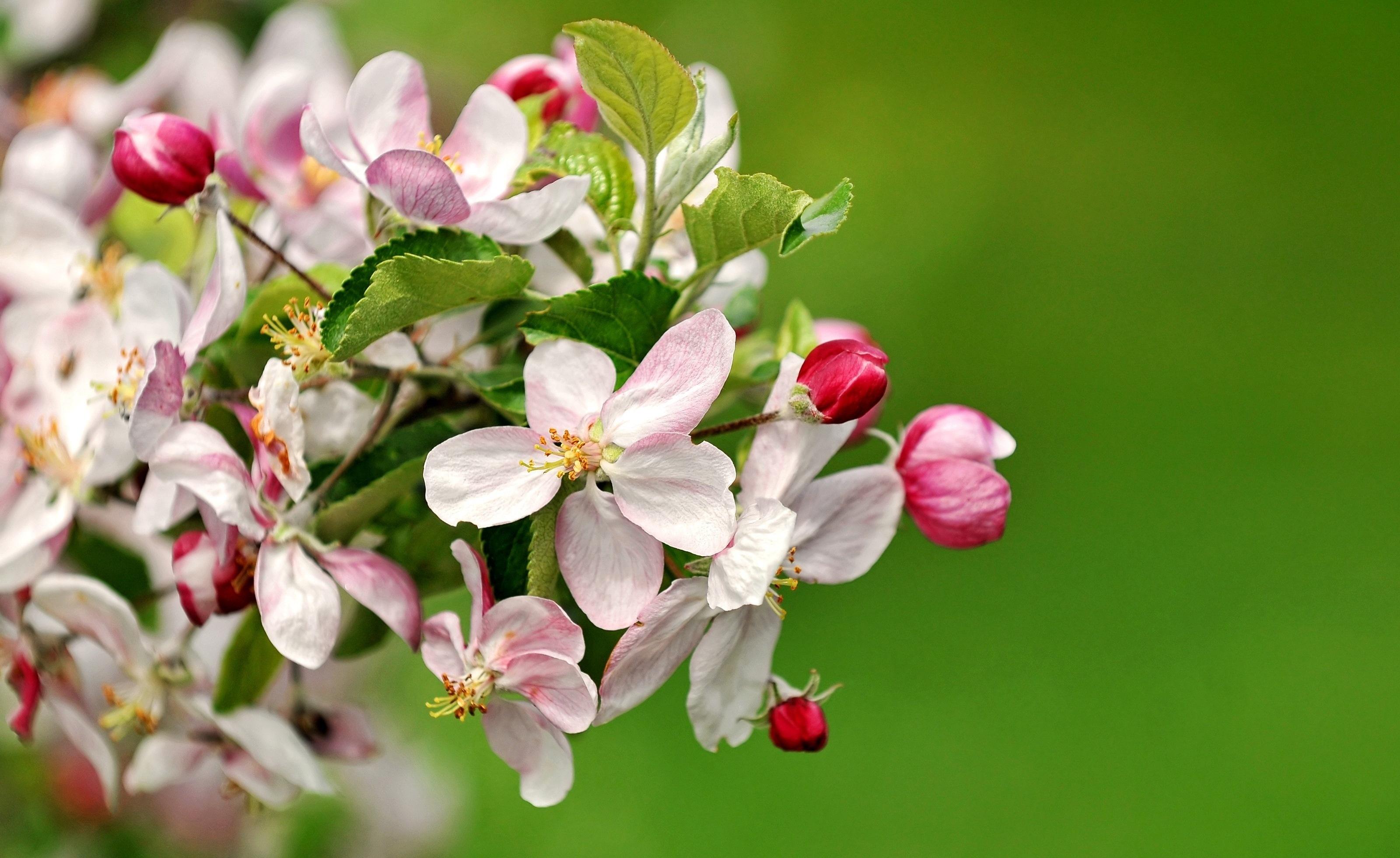 Открытки цветы яблони
