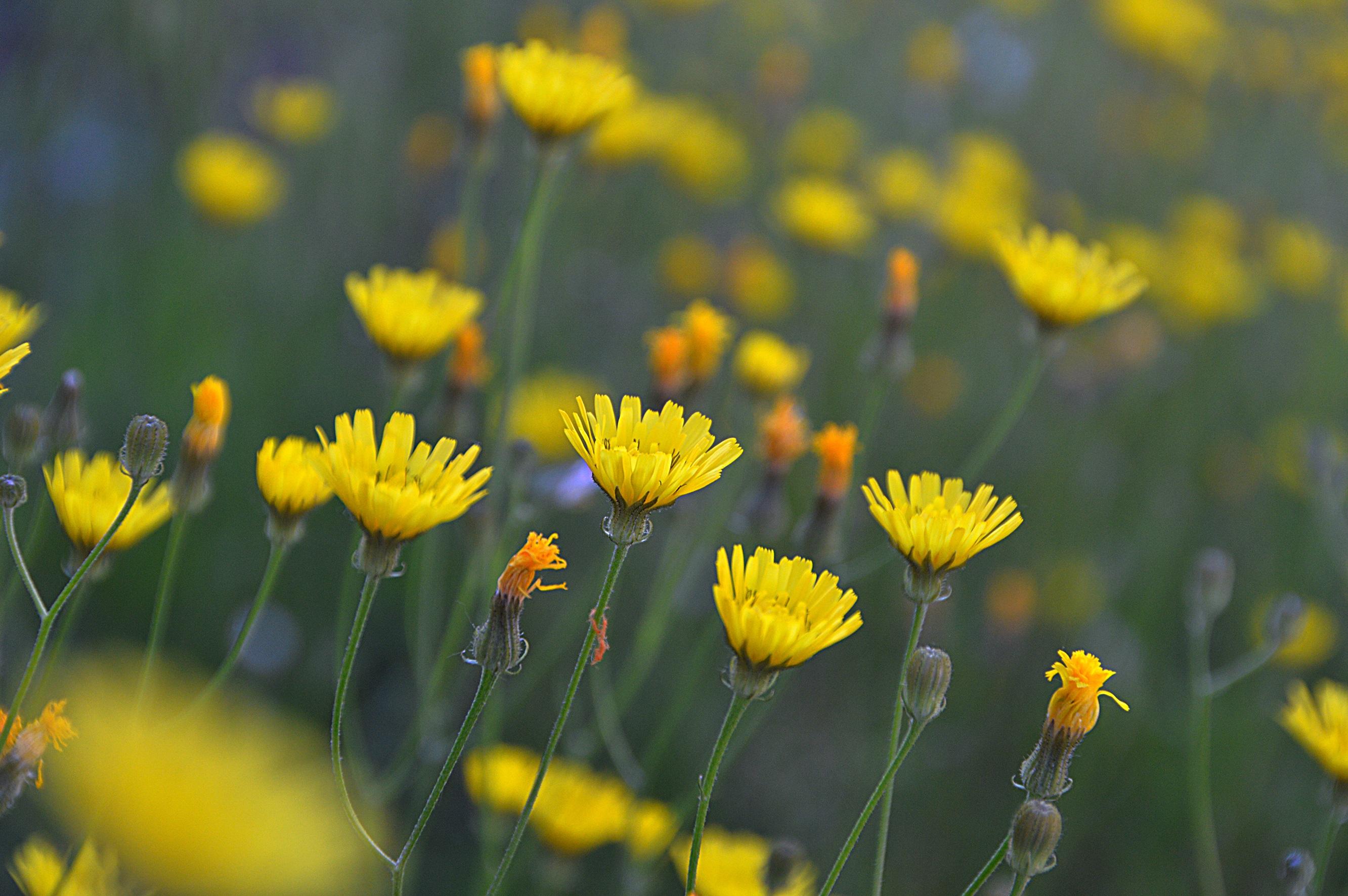 название желтых полевых цветов с картинками толщины находится выпадающем