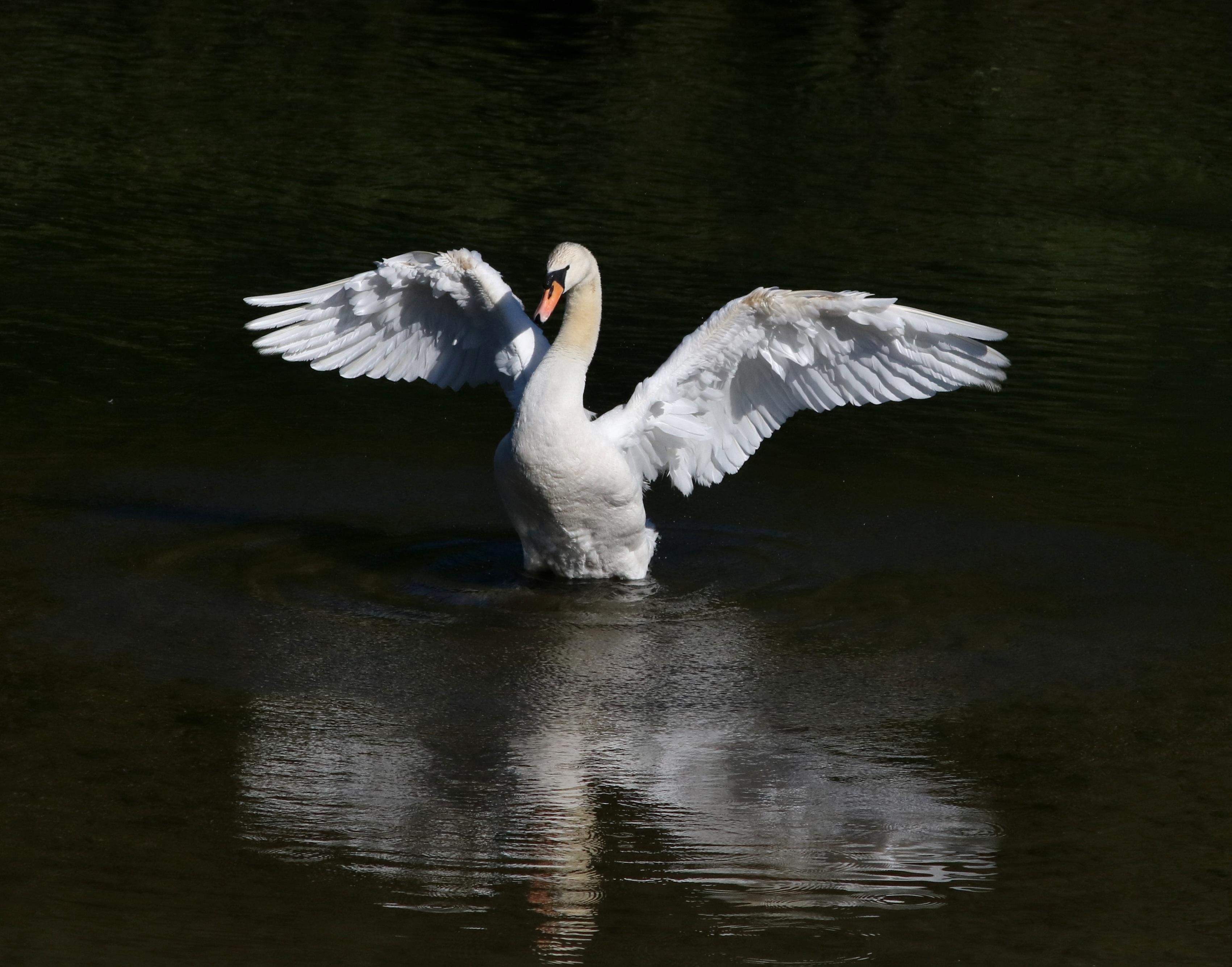 Картинки взлетающий лебедь