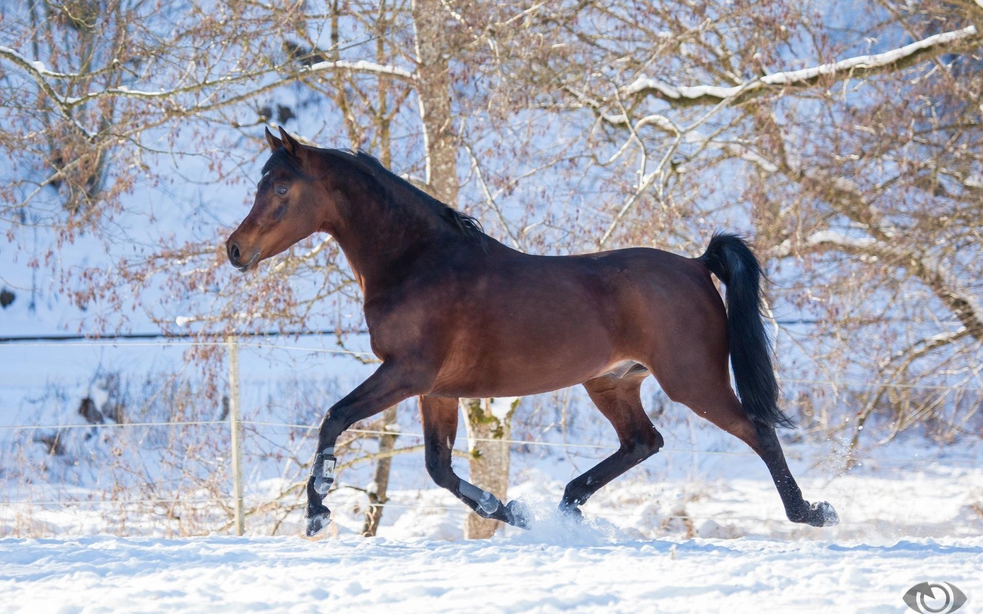 Wallpapers pferd schnee winter skakun grazia f r for Minimalismus haustiere
