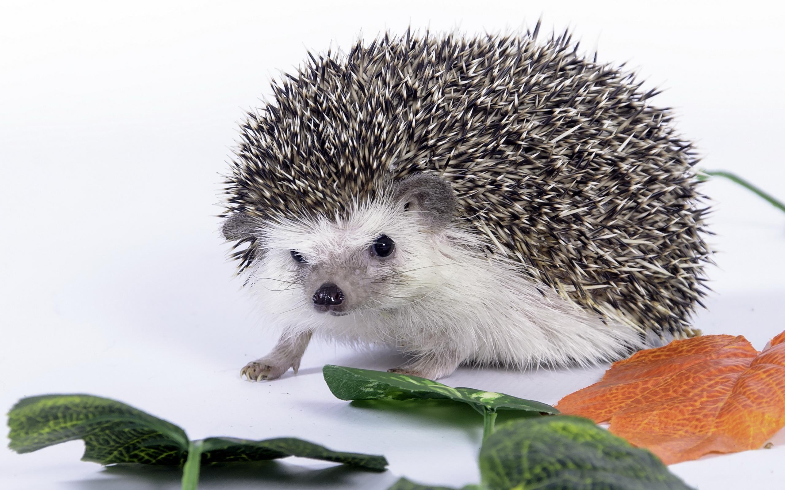 Картинки ежика животного