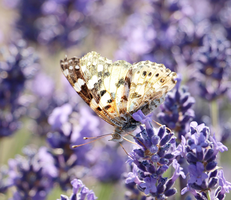 Wallpapers blumen insekt lavendel schmetterling fl gel for Minimalismus haustiere