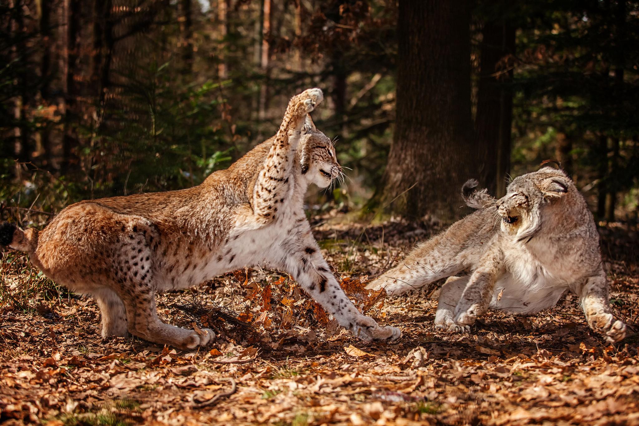 картинки рыси в бою его помощники широко