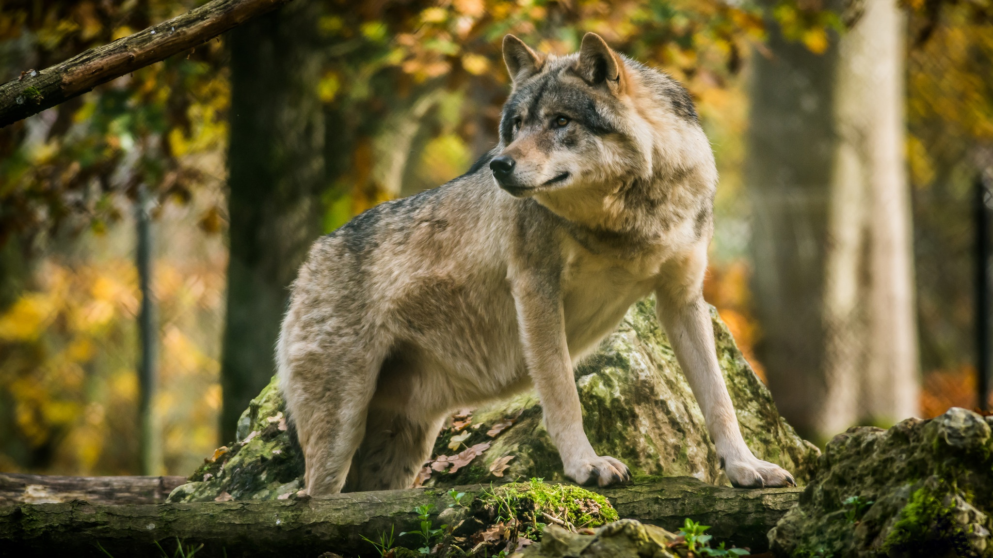 прошла кастинг, картинки серые волки на обои шесте