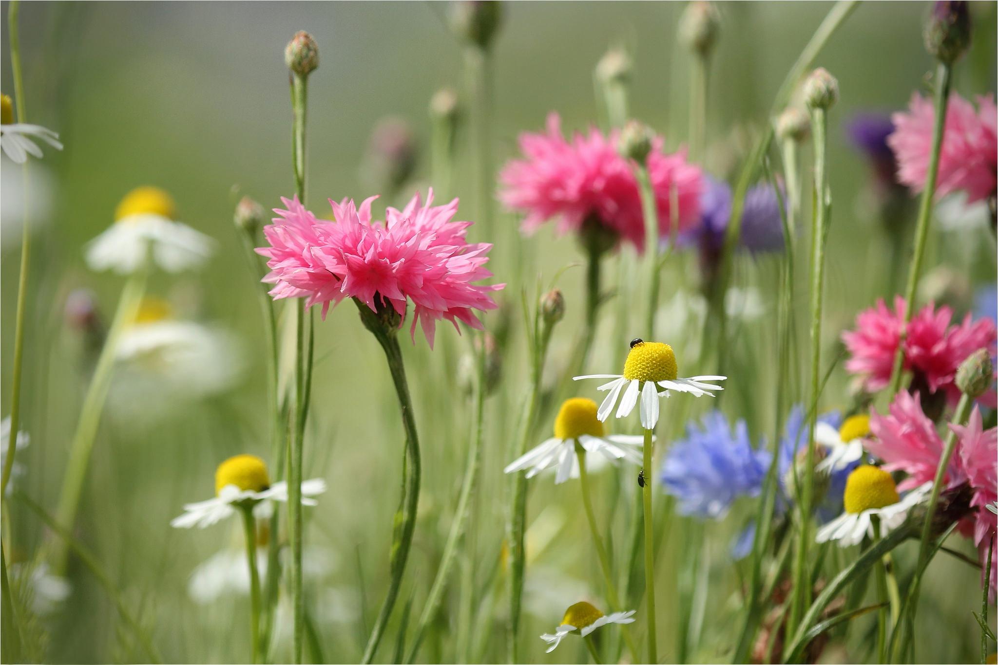 Фото картинки полевые цветы летом