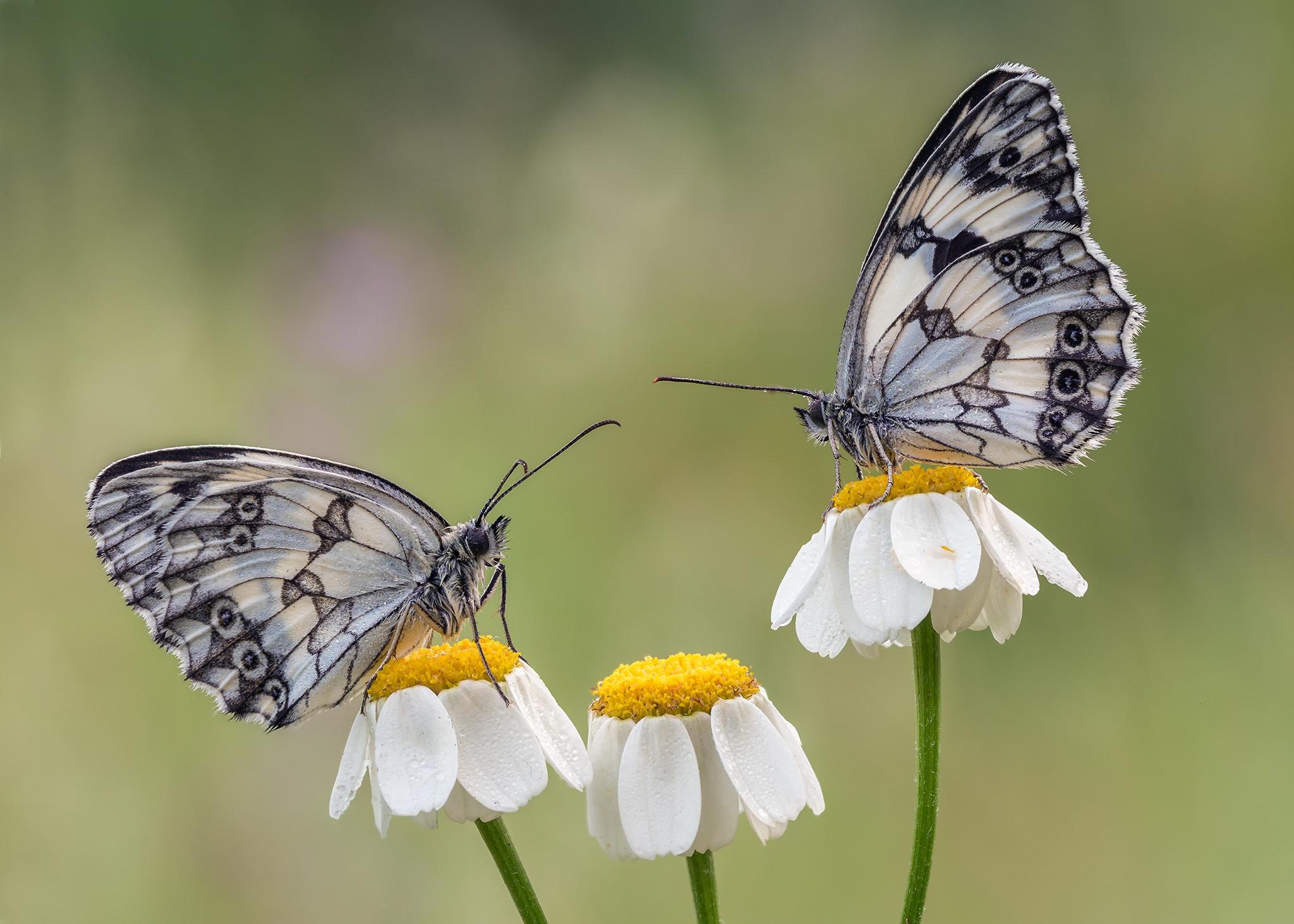 Бабочки пара картинки