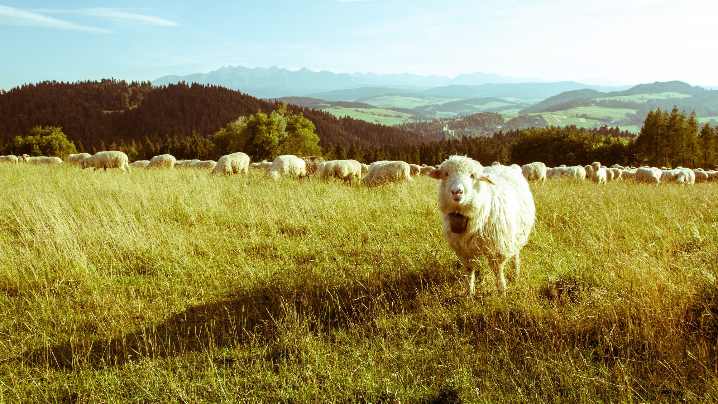 картинки луг с овцами совсем произвольного, если