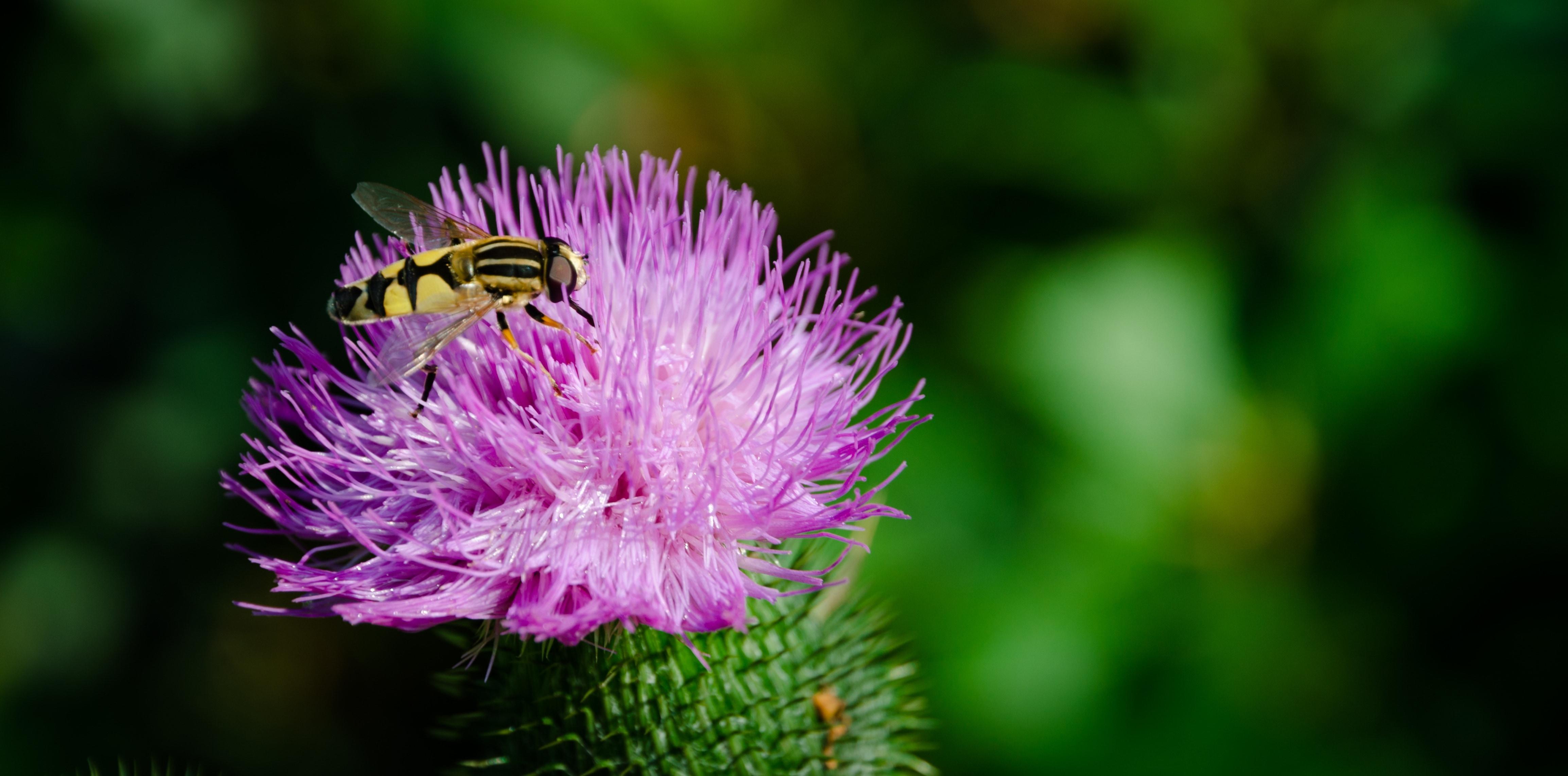 Обои журчалка, цветок, насекомое, боке. Макро foto 15