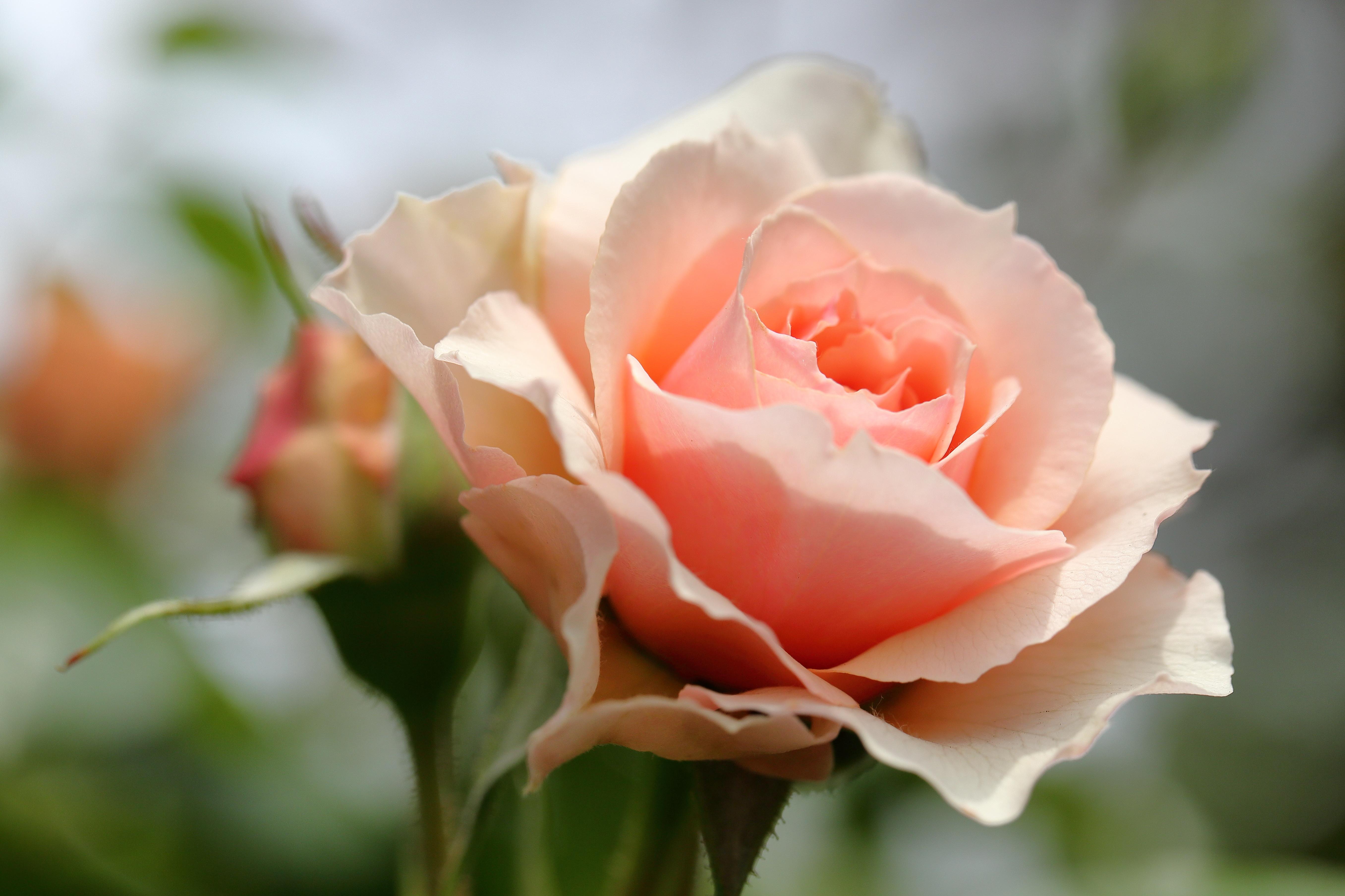 цветения открытка одна крупная роза это
